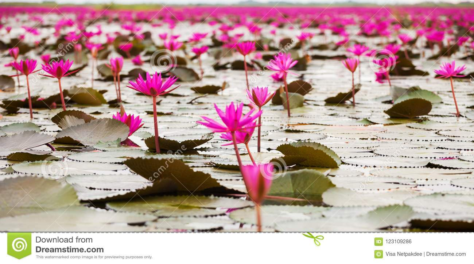 Море красного лотоса, море лотоса болота красное красного лотоса