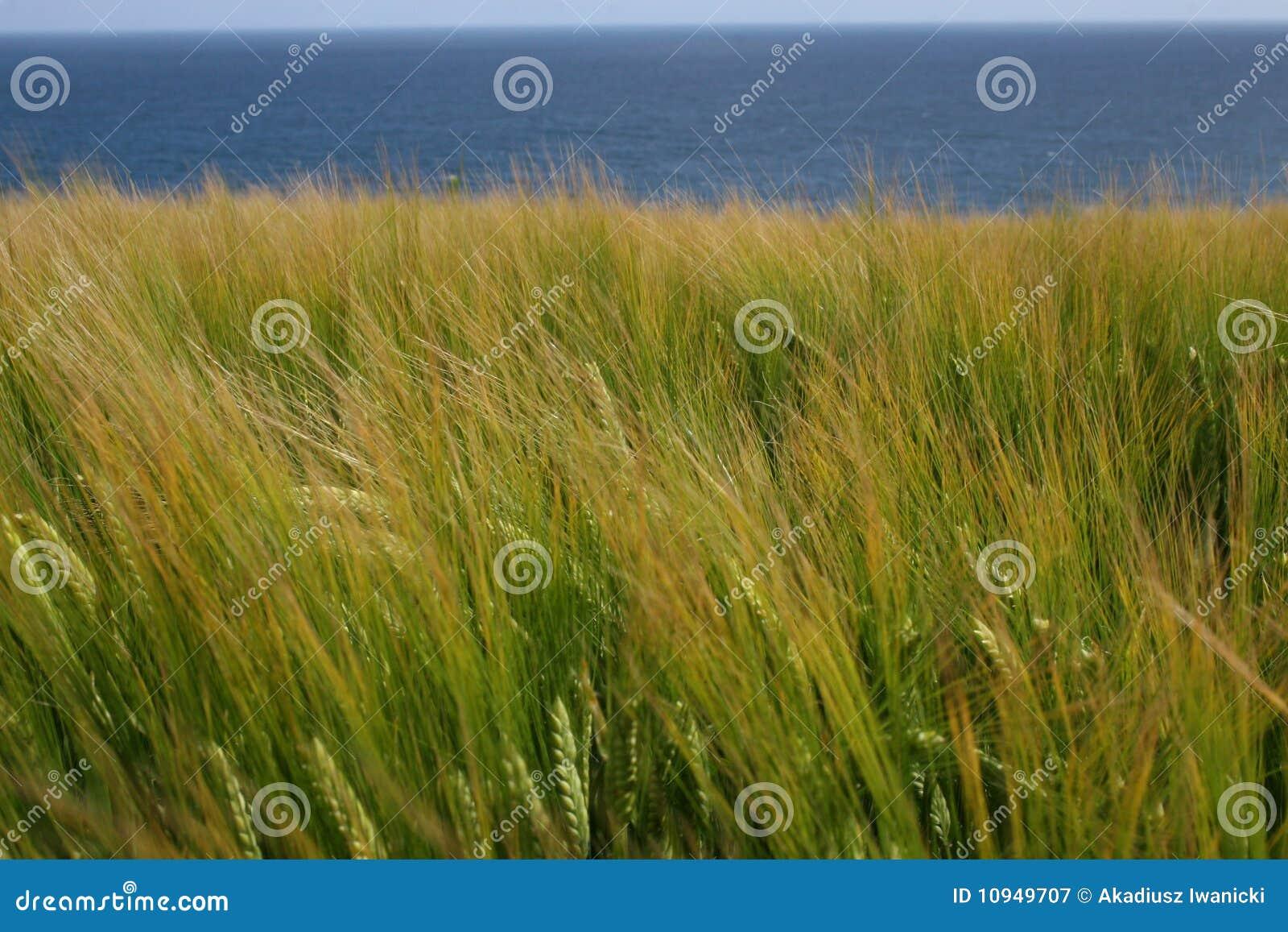 море рожи поля