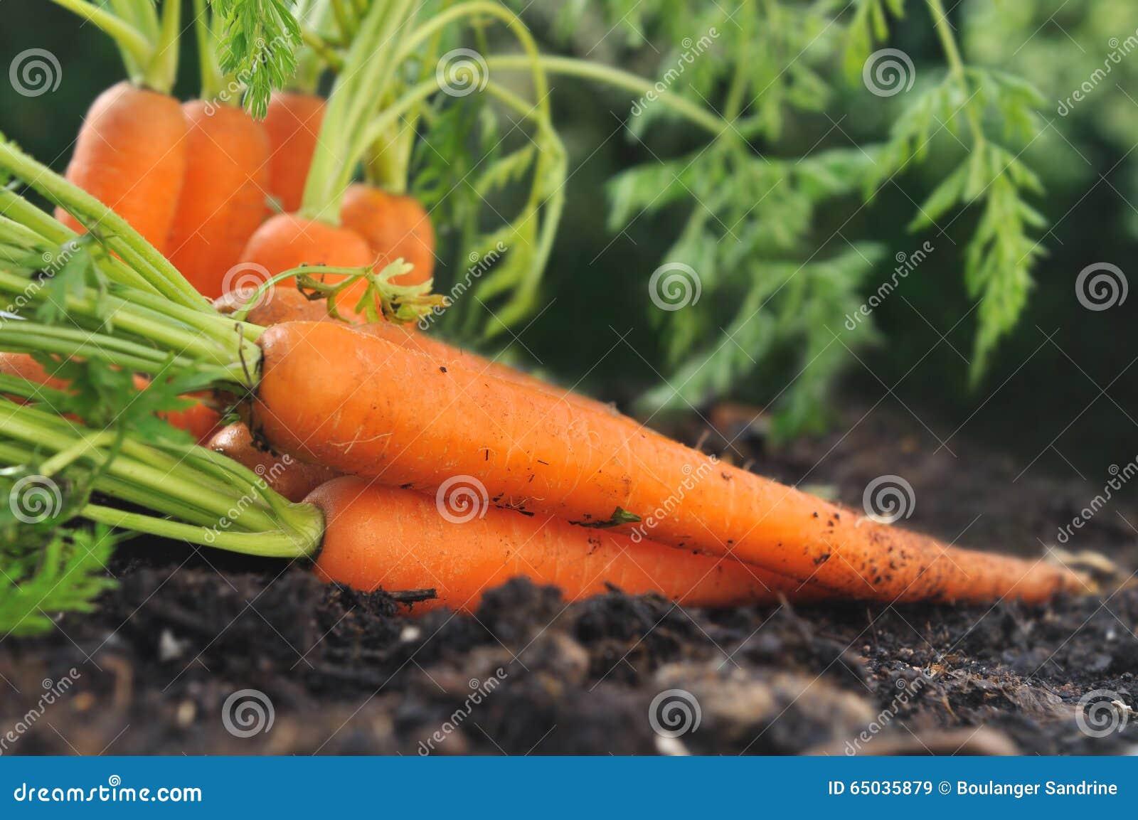 Моркови в почве сада