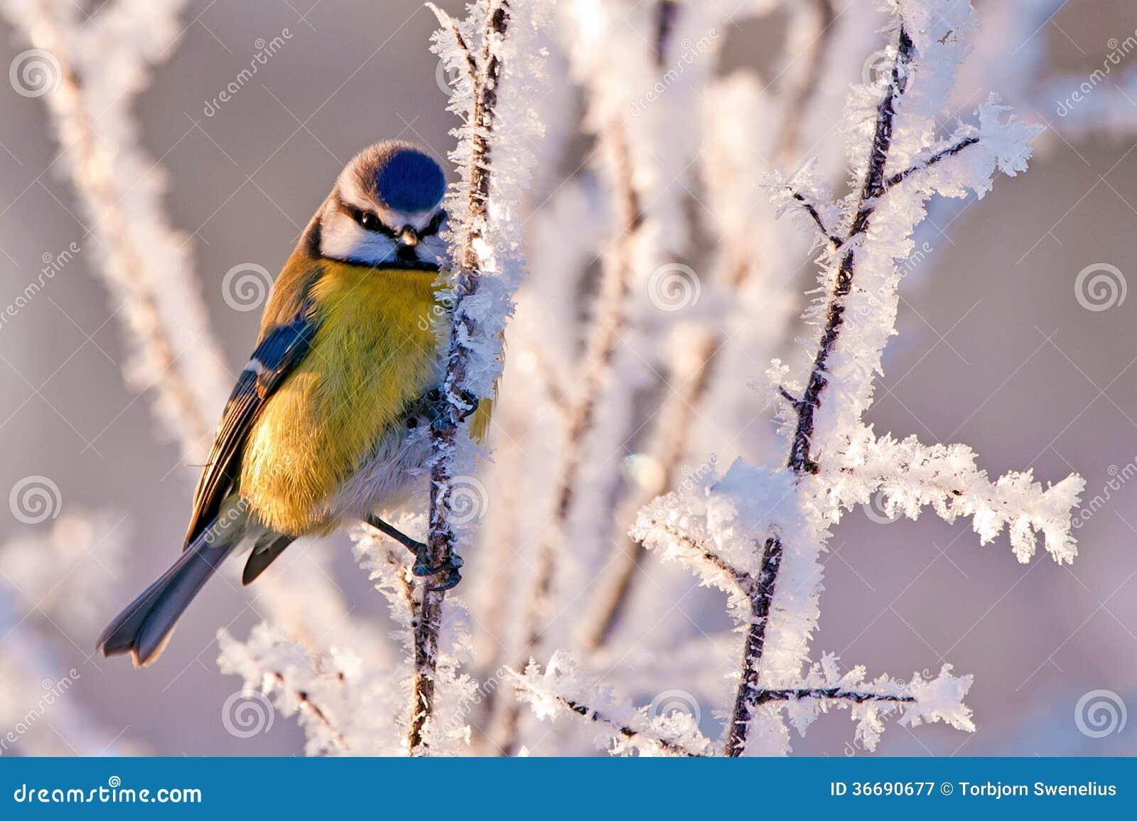 Морозная голубая синица