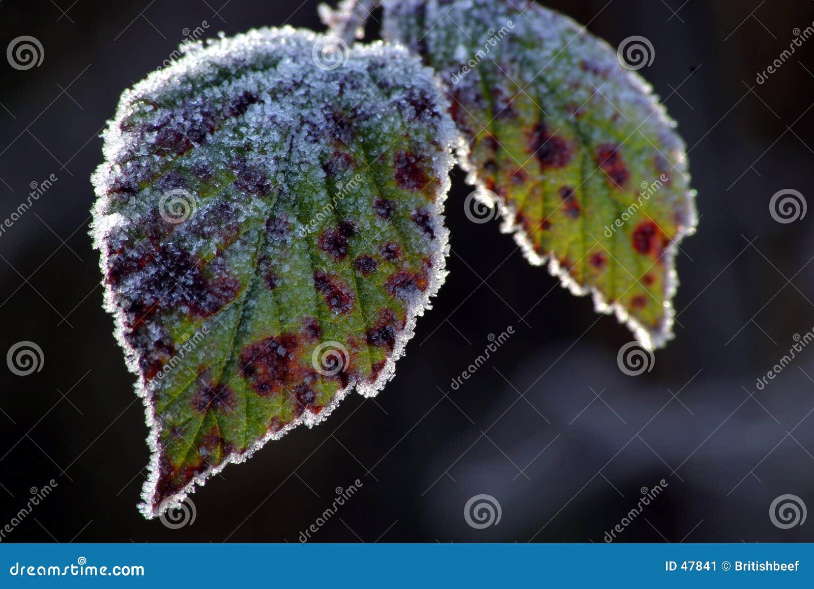 морозные листья