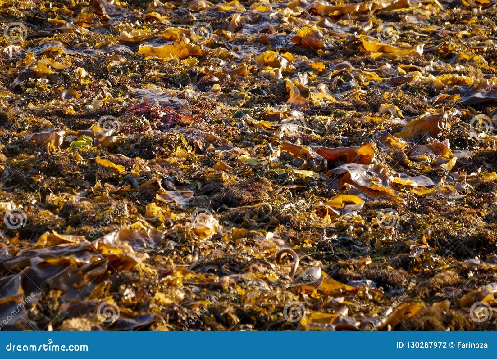 Морская водоросль в куче на заливе белого моря