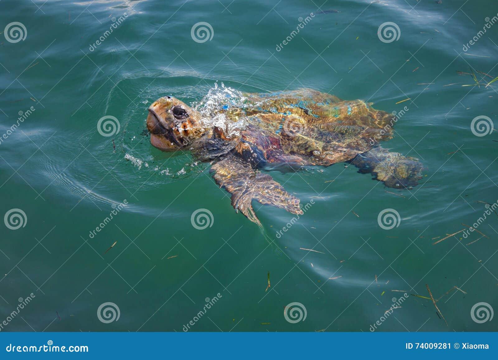 Морская черепаха морской черепахи в море