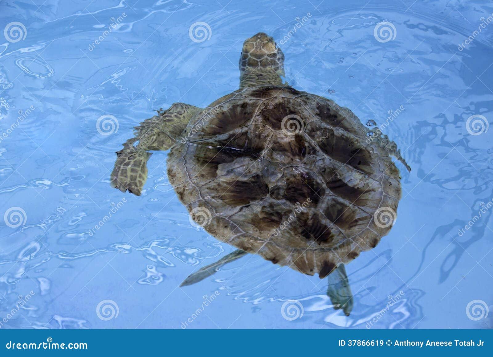 Морская черепаха Hawksbill (imbricata Eretmochelys)