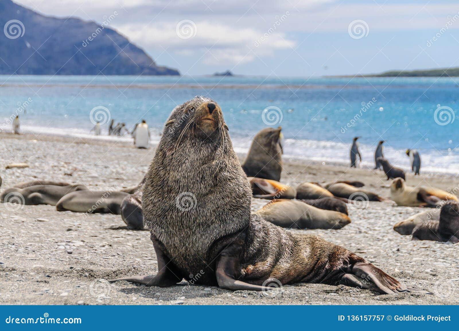 Морские котики на равнинах Солсбери, Южной Георгие