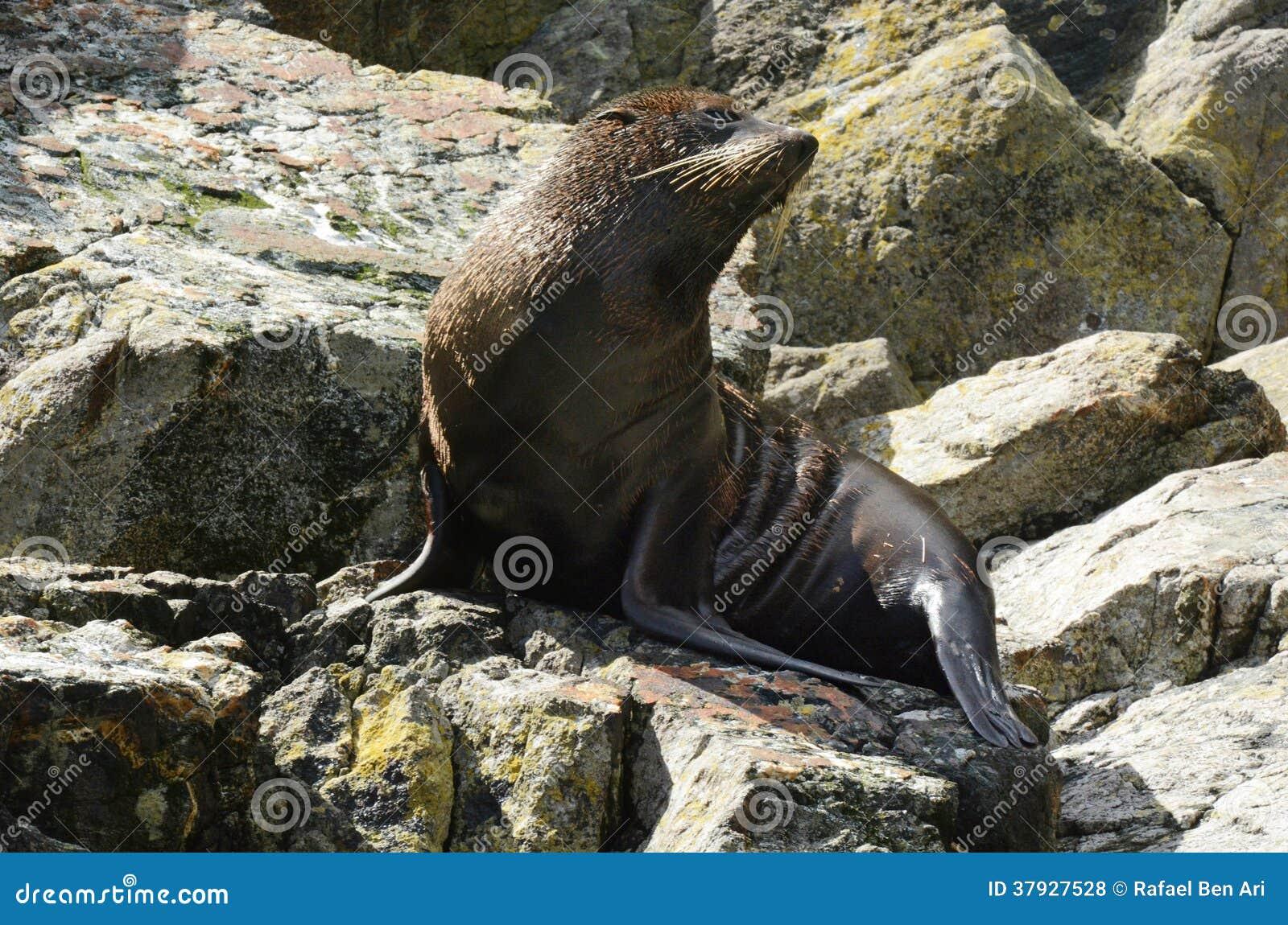 Морской котик - живая природа NZ NZL Новой Зеландии