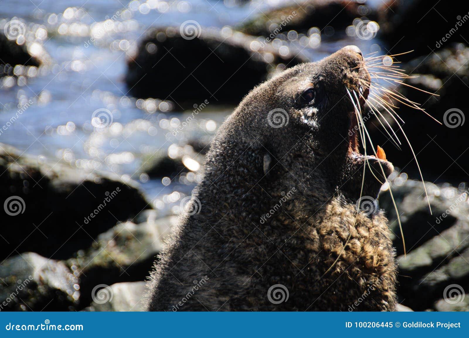 Морской котик на Godthul