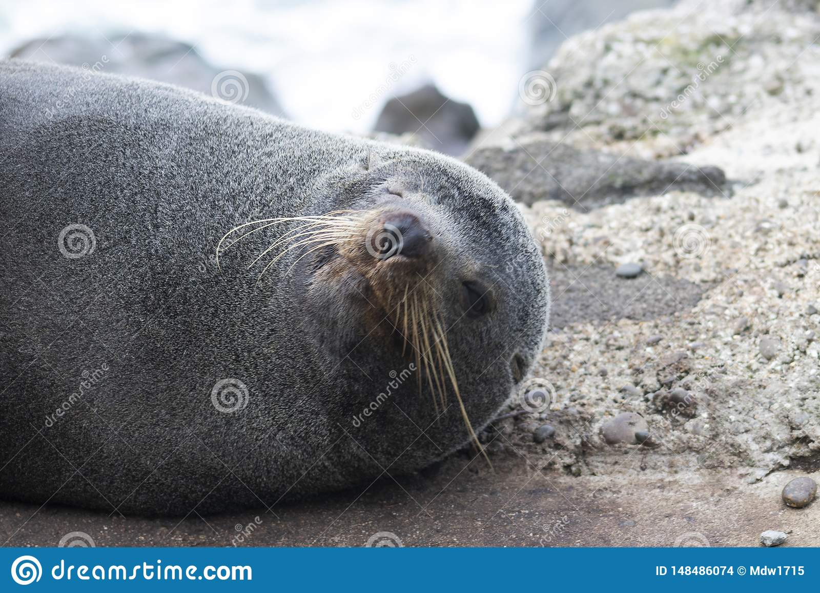 Морской котик Новой Зеландии усмехается для камеры