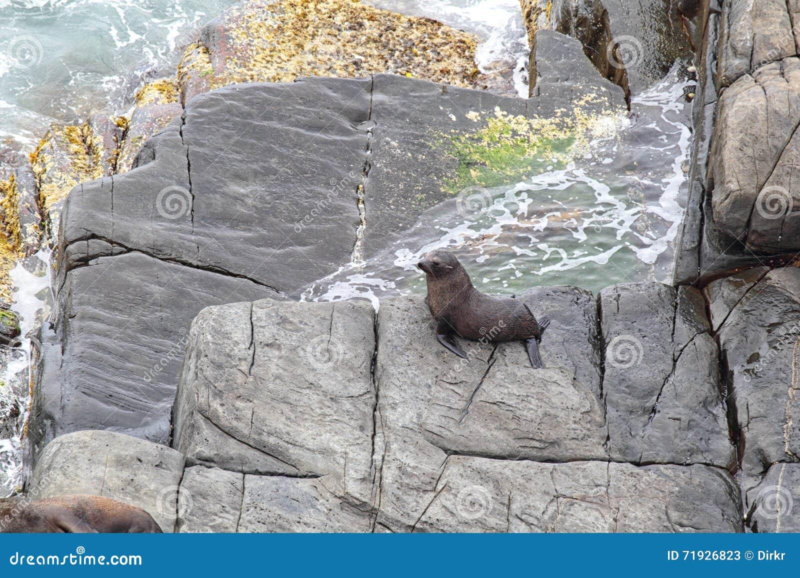 Морской котик Новой Зеландии (forsteri котика))
