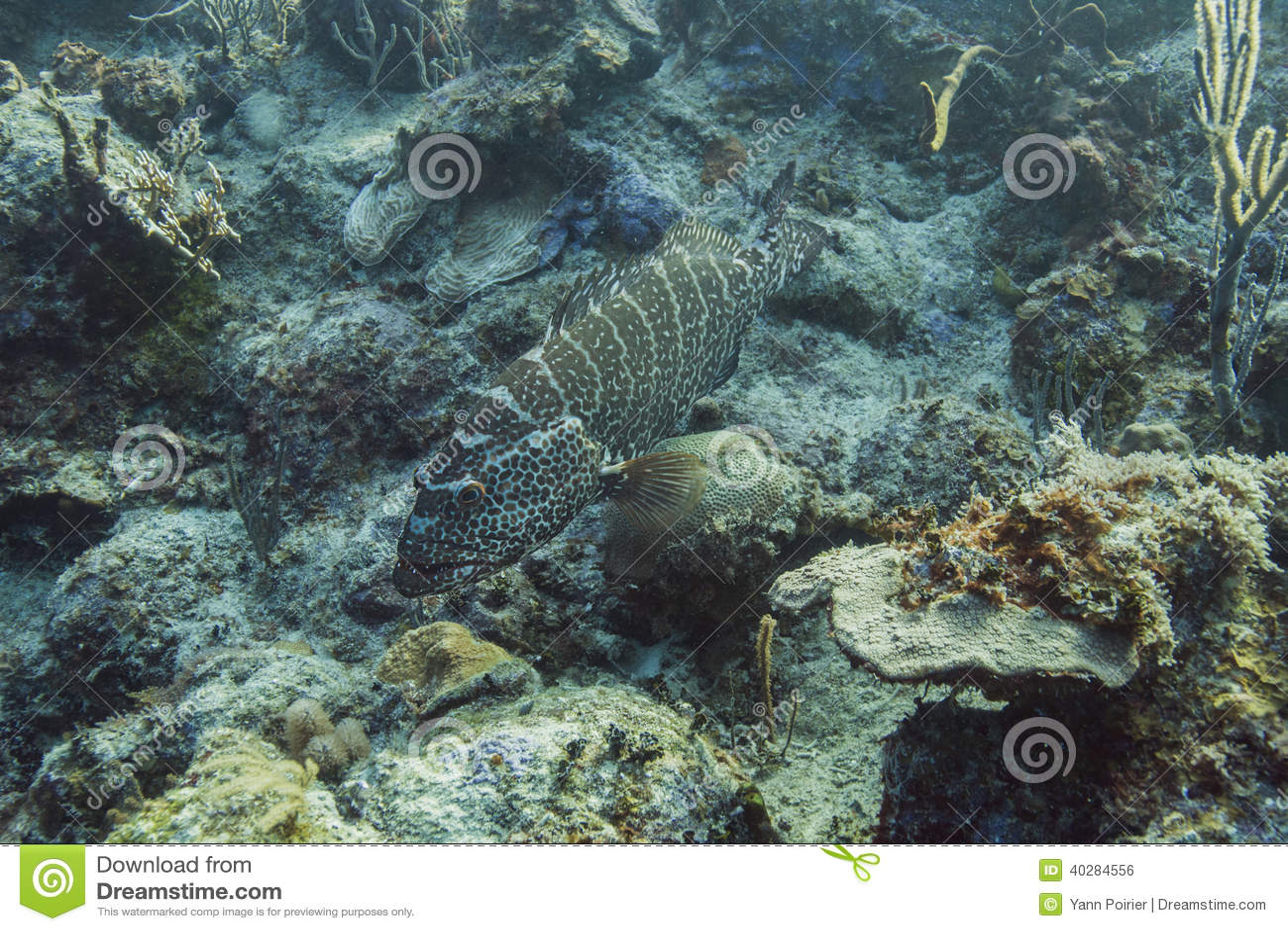 Морской окунь Голиафа
