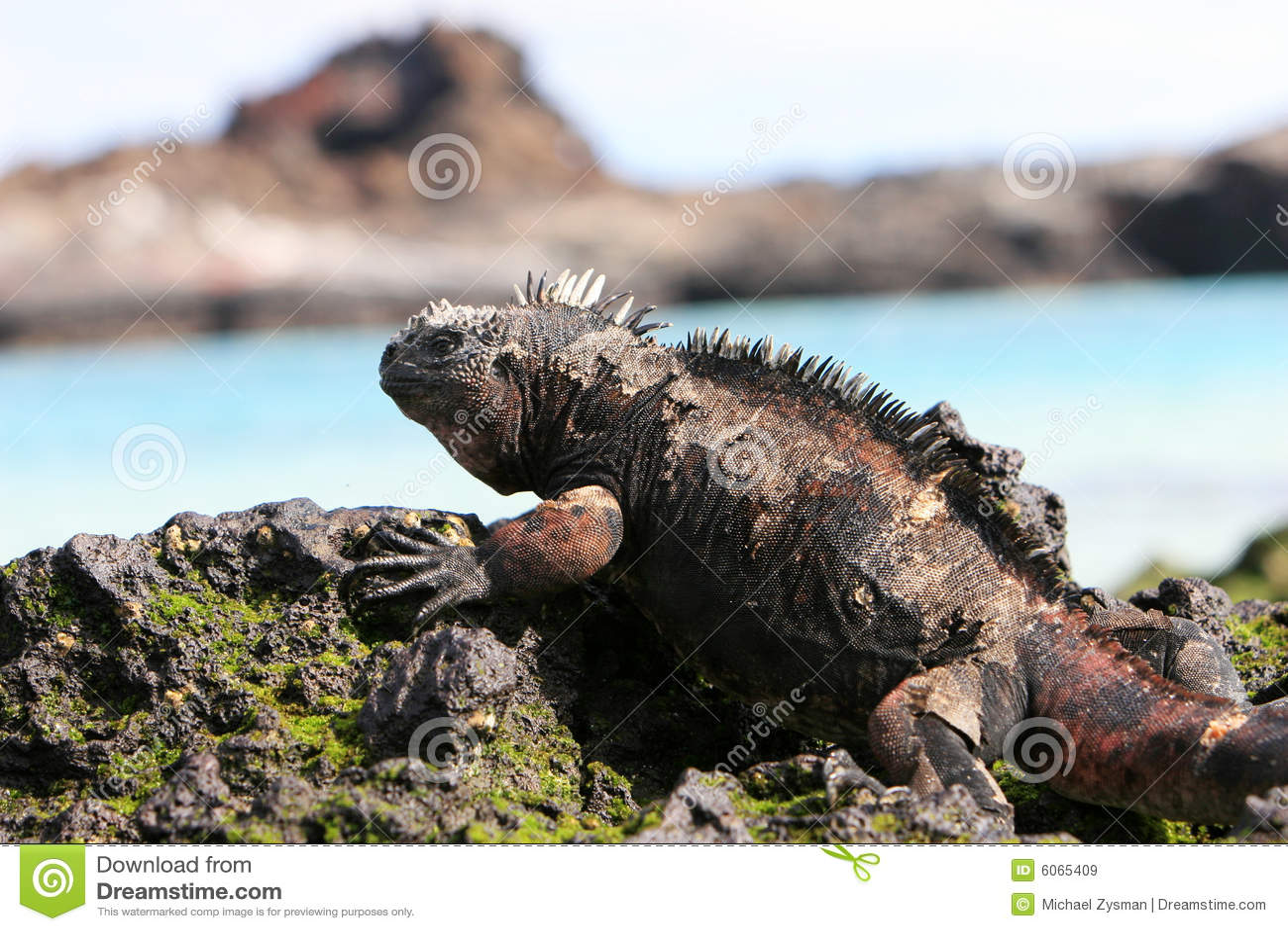 морской пехотинец игуаны galapagos