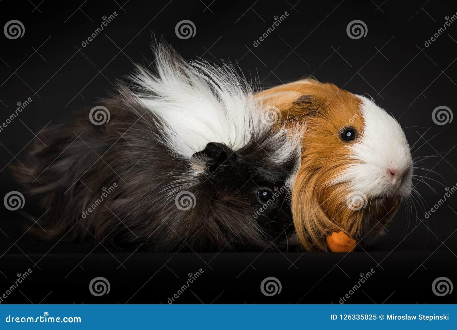 2 морской свинки есть морковь