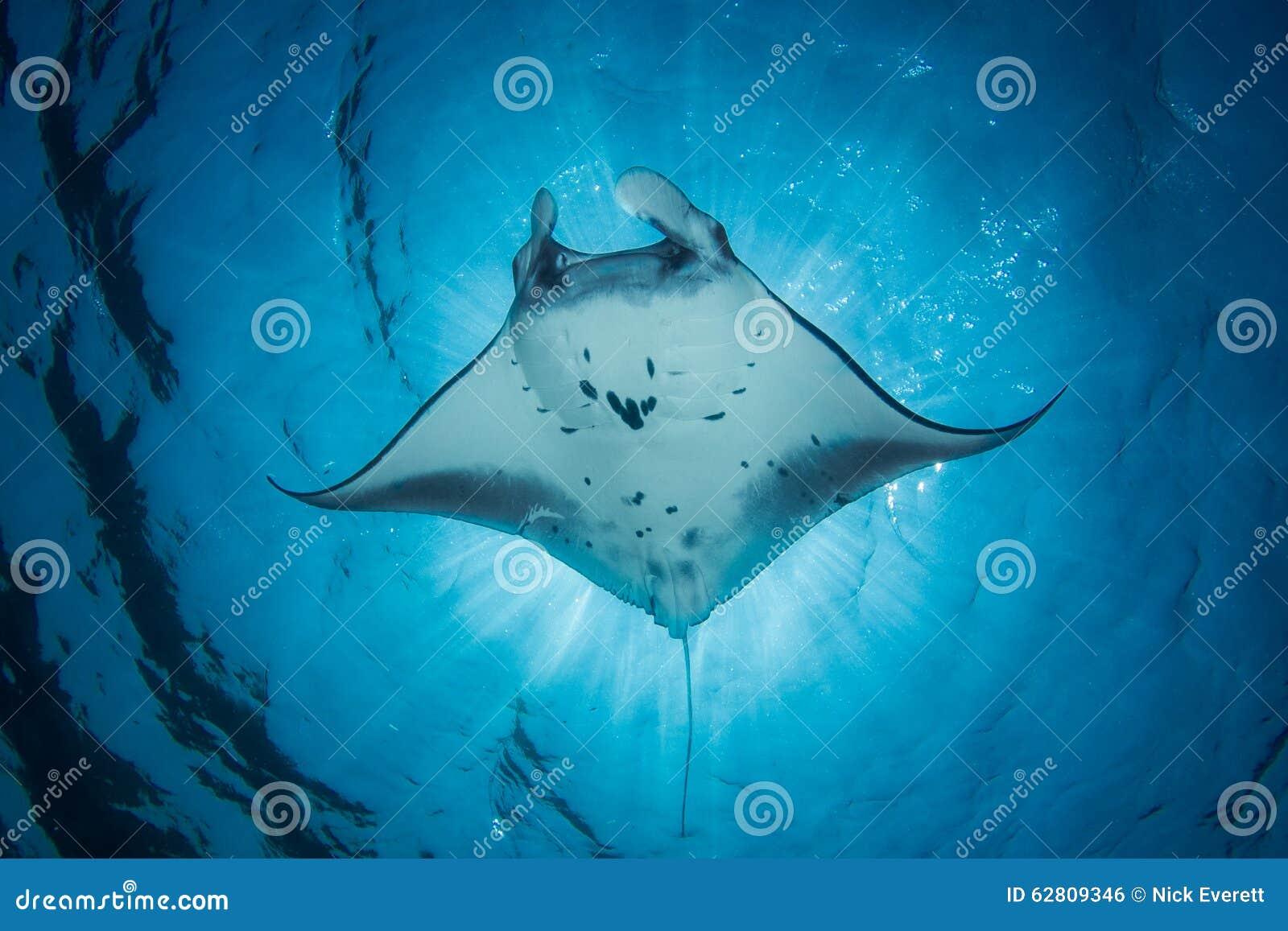 Морской дьявол - Manta Alfredi