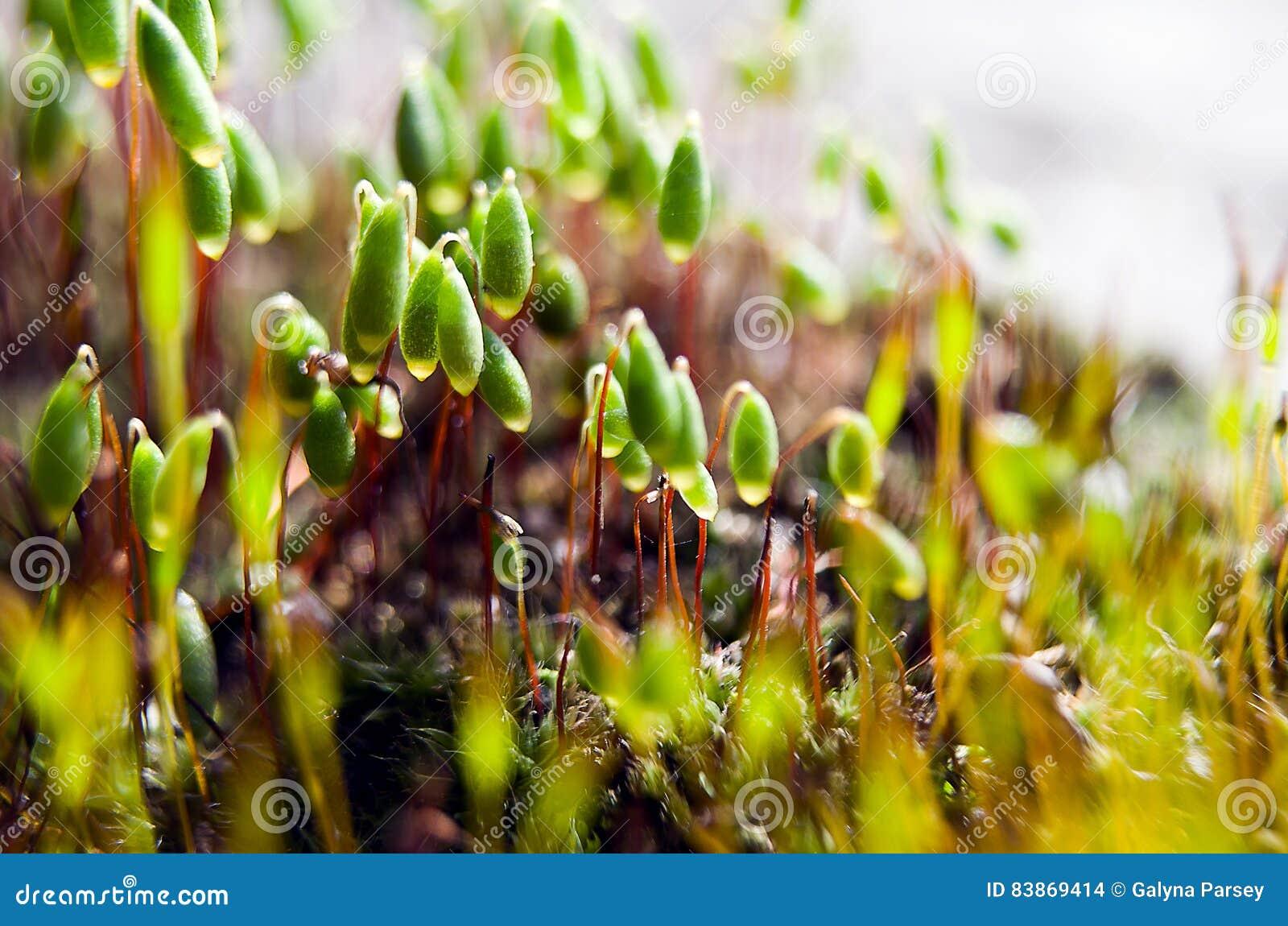Мох макроса зеленый