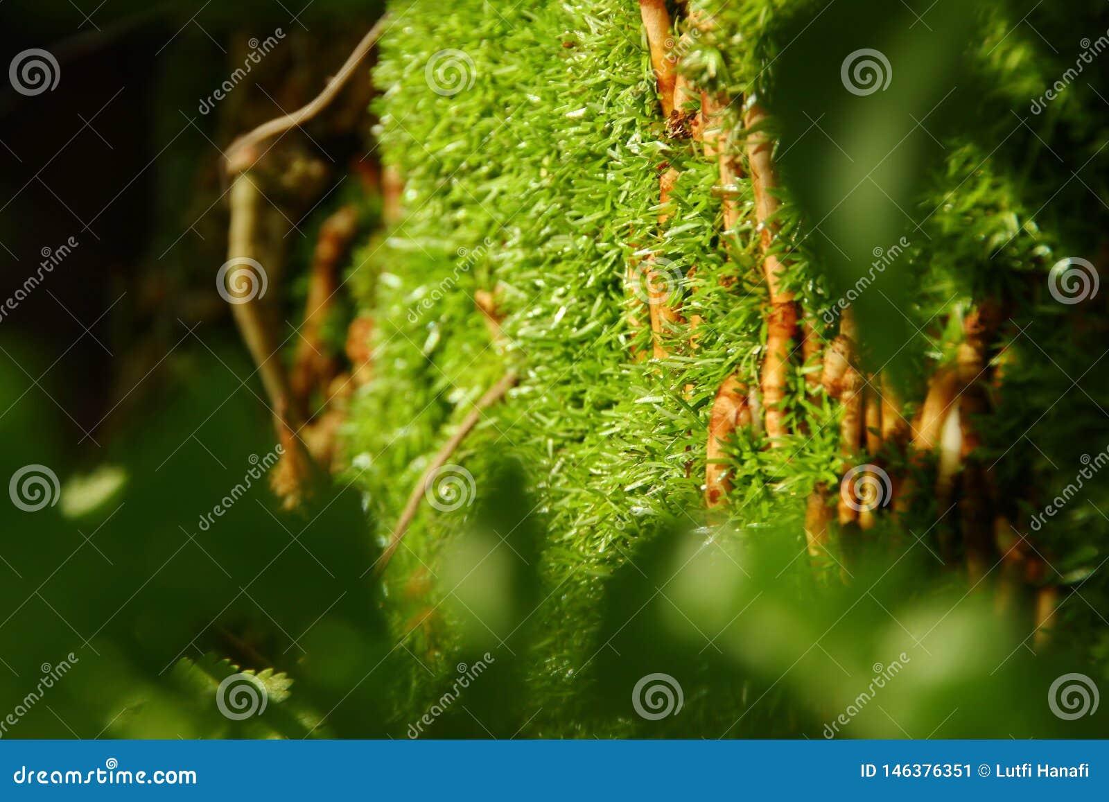 Мох прикрепленный в дерево, путем принимать некоторый фокус,