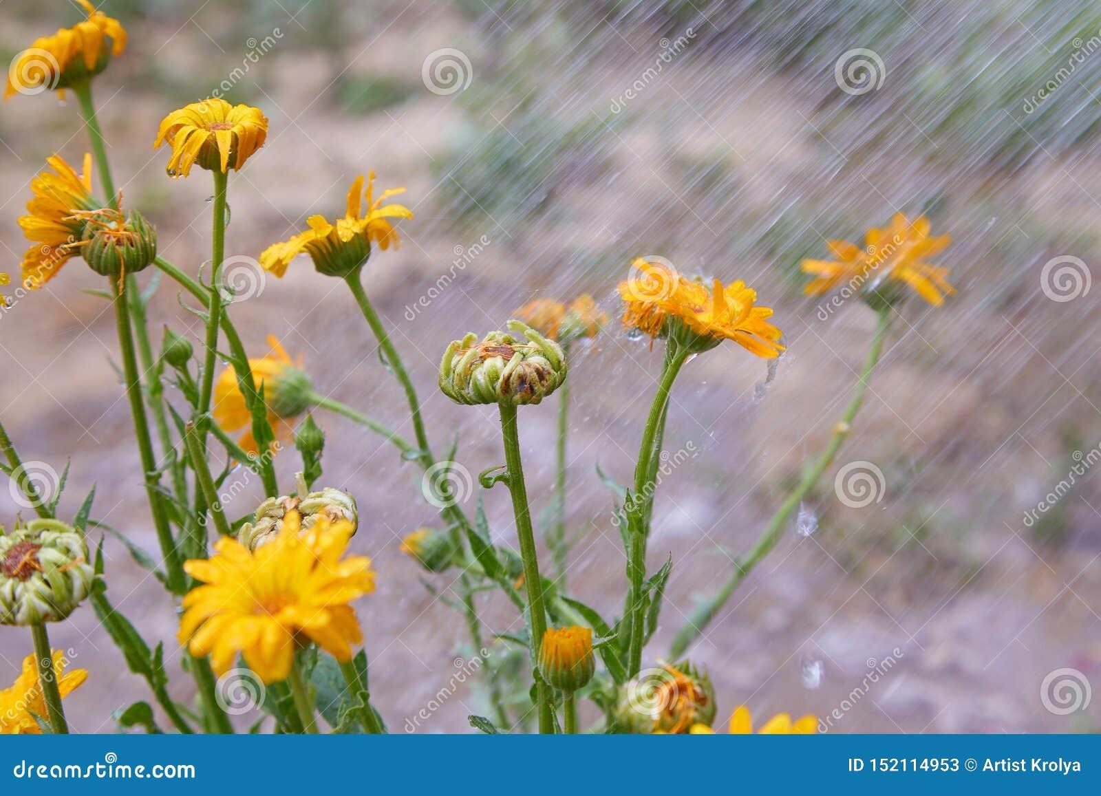 Мочится предпосылка лета с оранжевыми цветками calendula Цветки Calendula с падениями воды