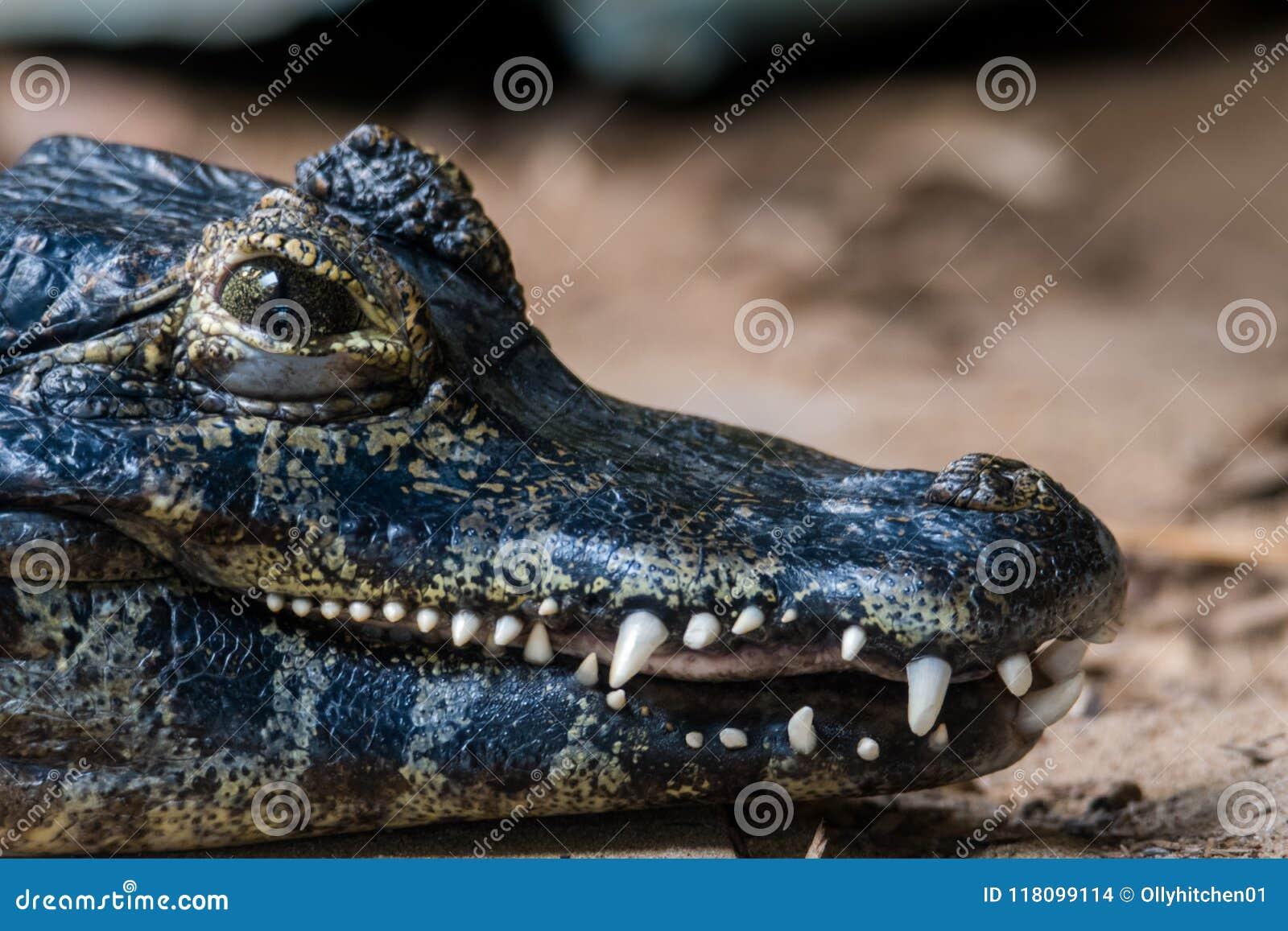 Мощные челюсти Caiman Yacare показывая его сильные зубы, против предпосылки песка и пыли