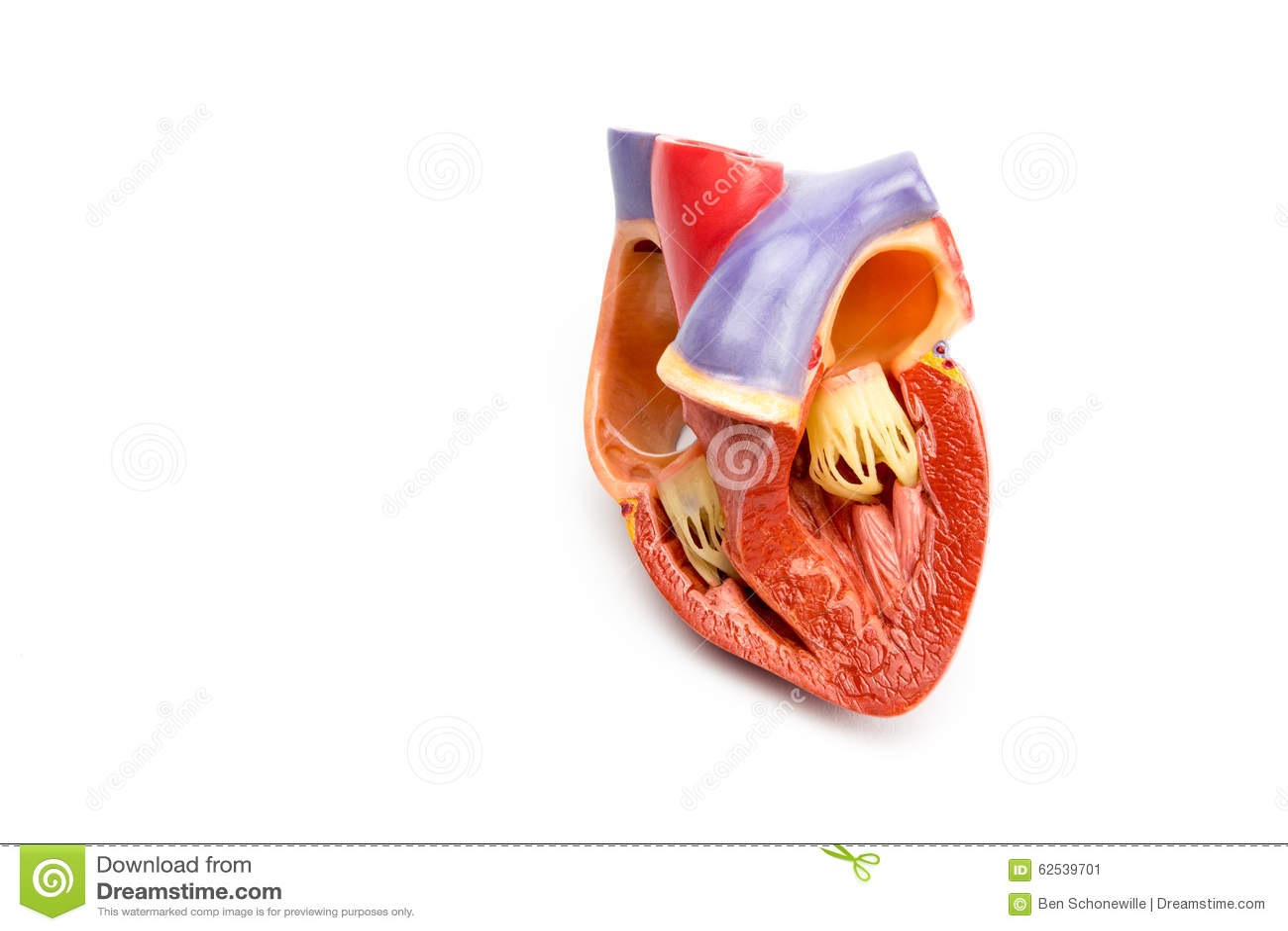Модель открытого человеческого сердца изолированного на белой предпосылке