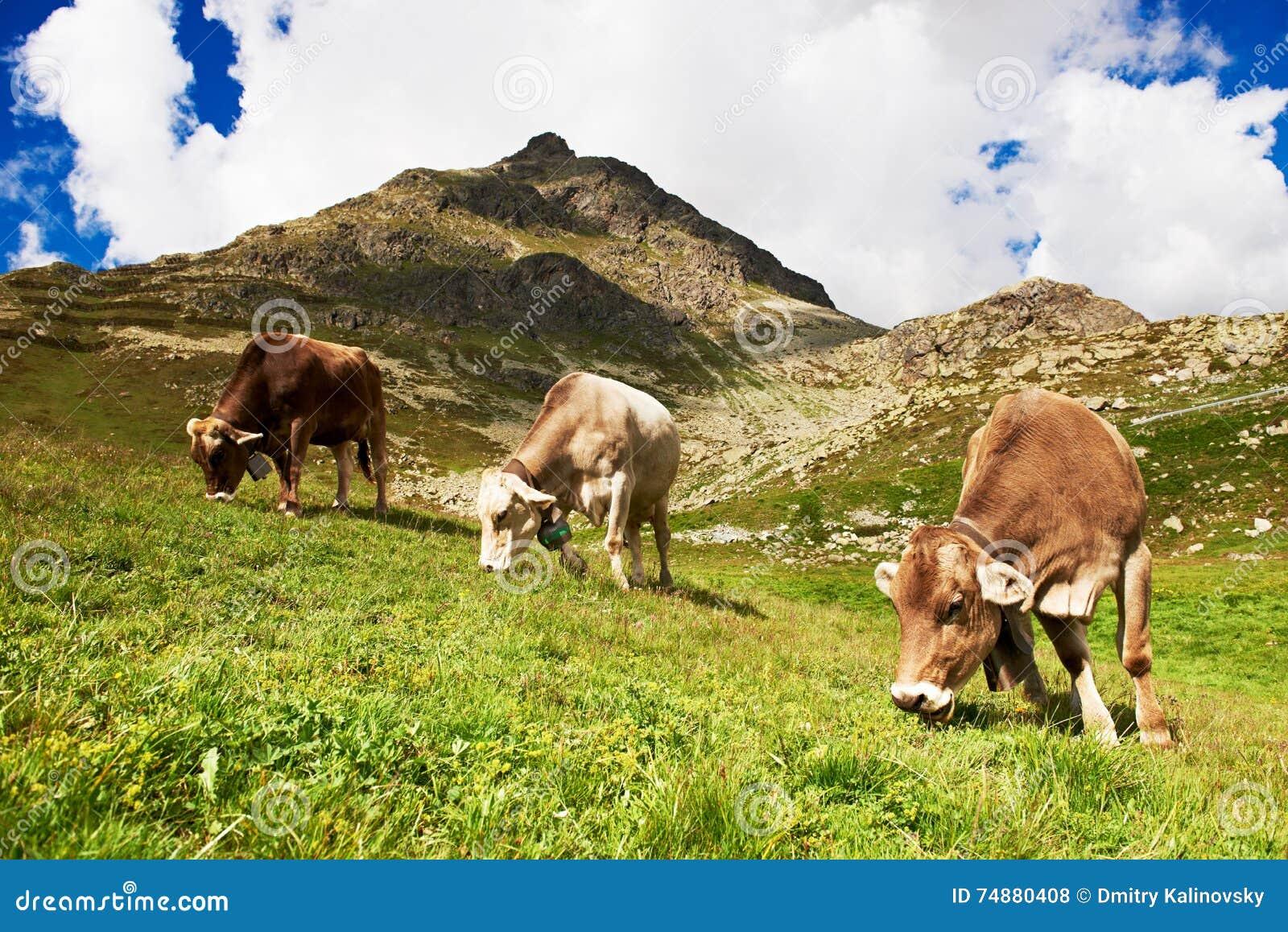 Молочная корова пася на высокогорном выгоне зеленой травы гор