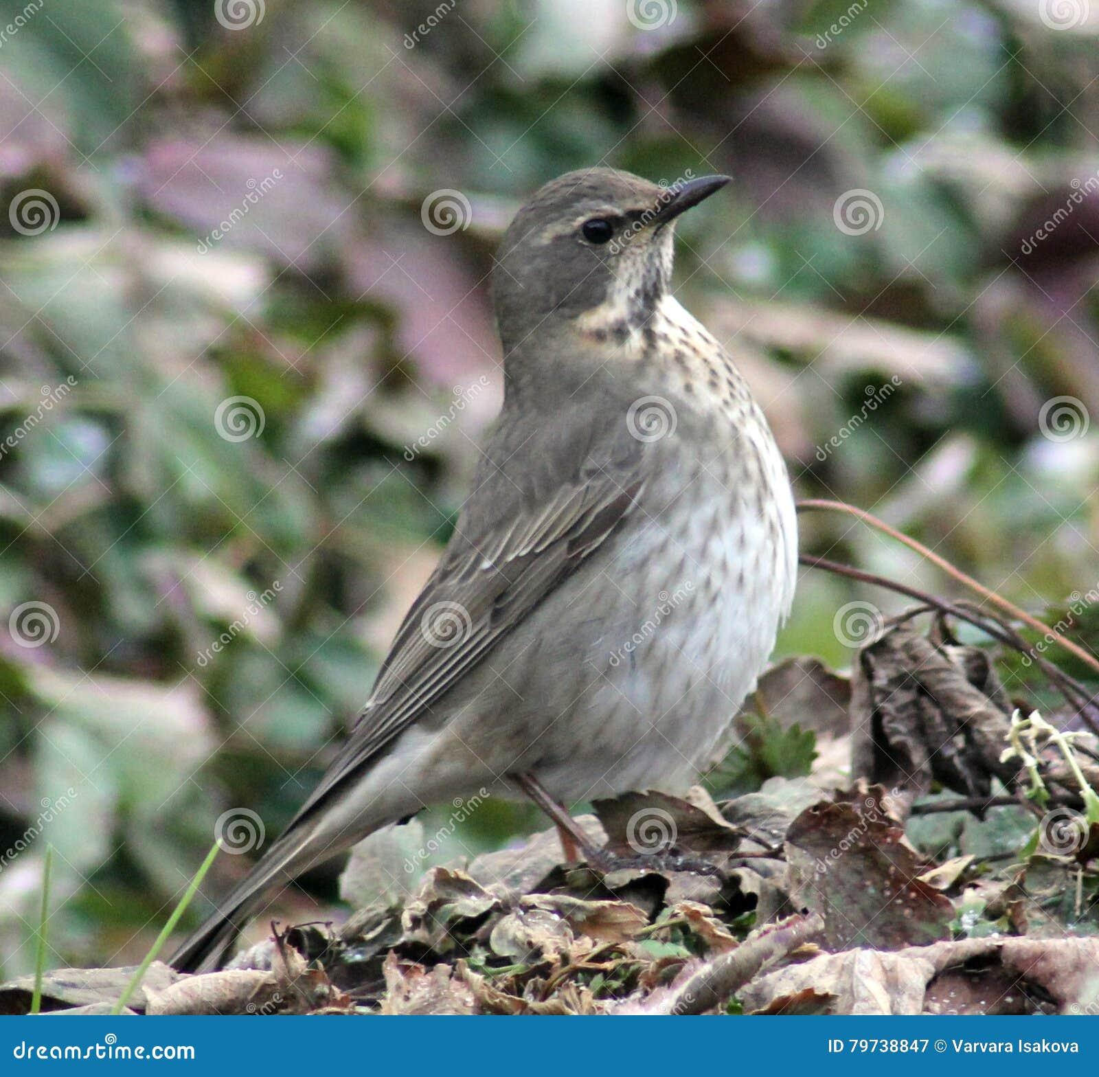 Молочница Belobrova воробьинообразной птицы
