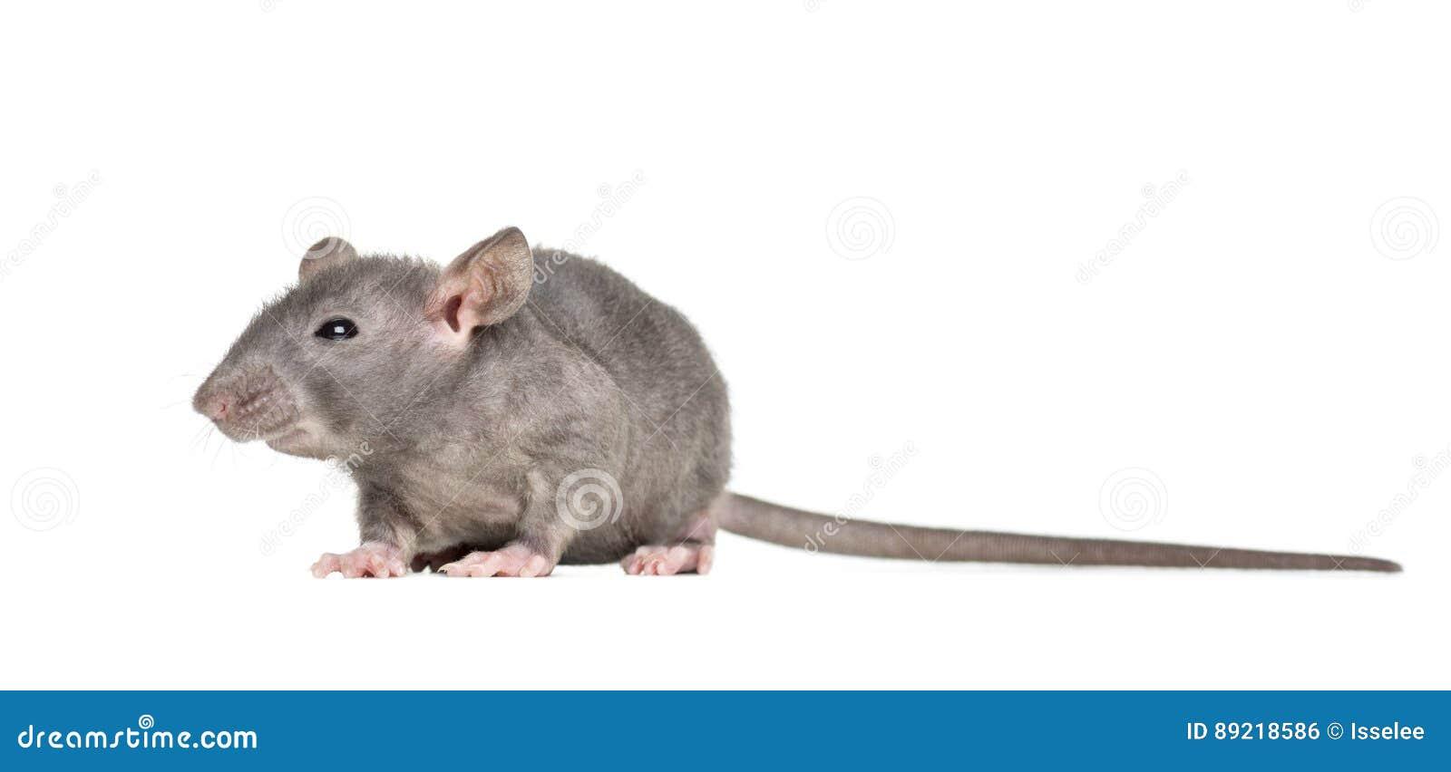 Молодая безволосая изолированная крыса,