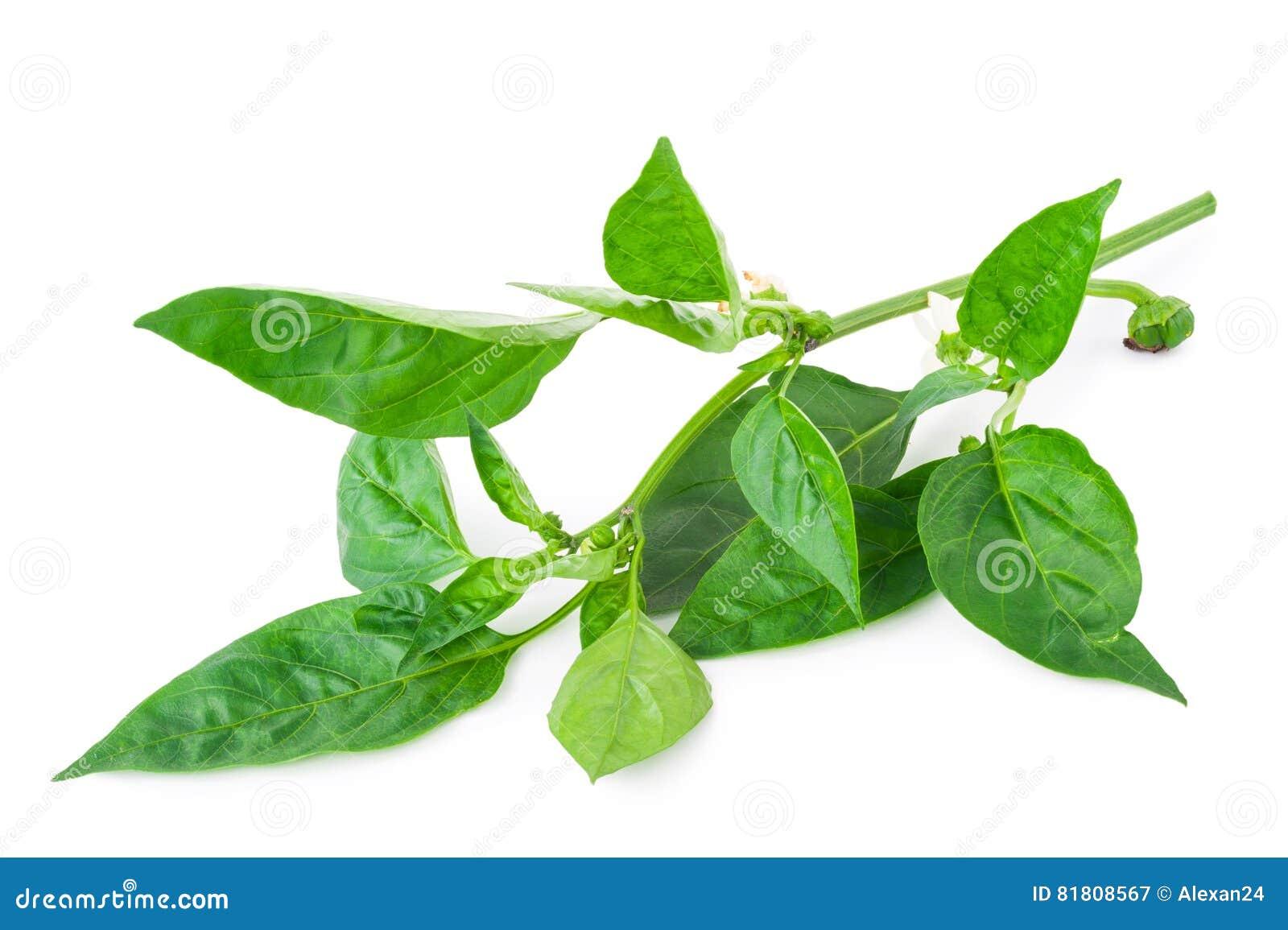 Молодая ветвь перца с зелеными лист