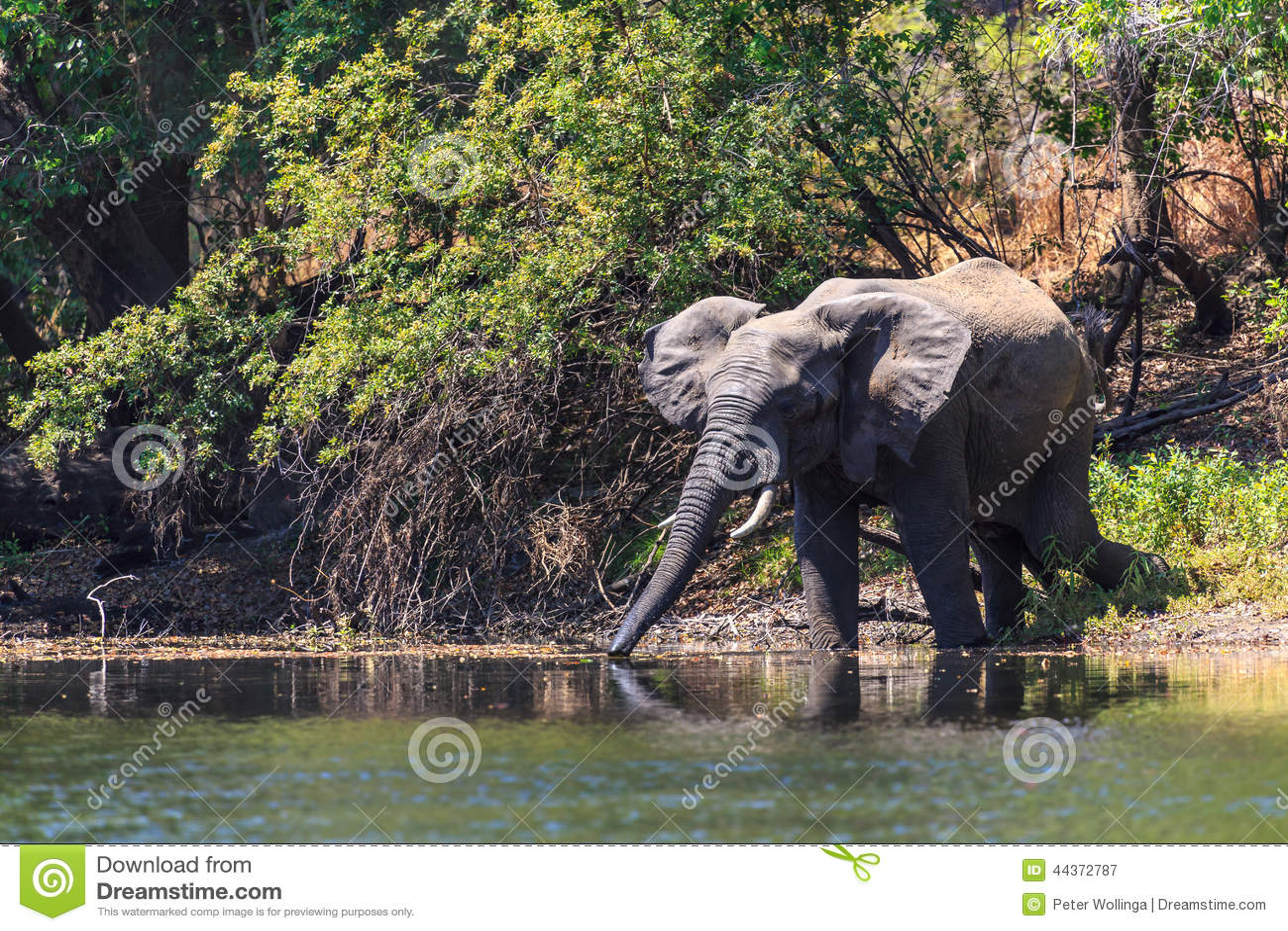 Молодая вода dring слона в реке