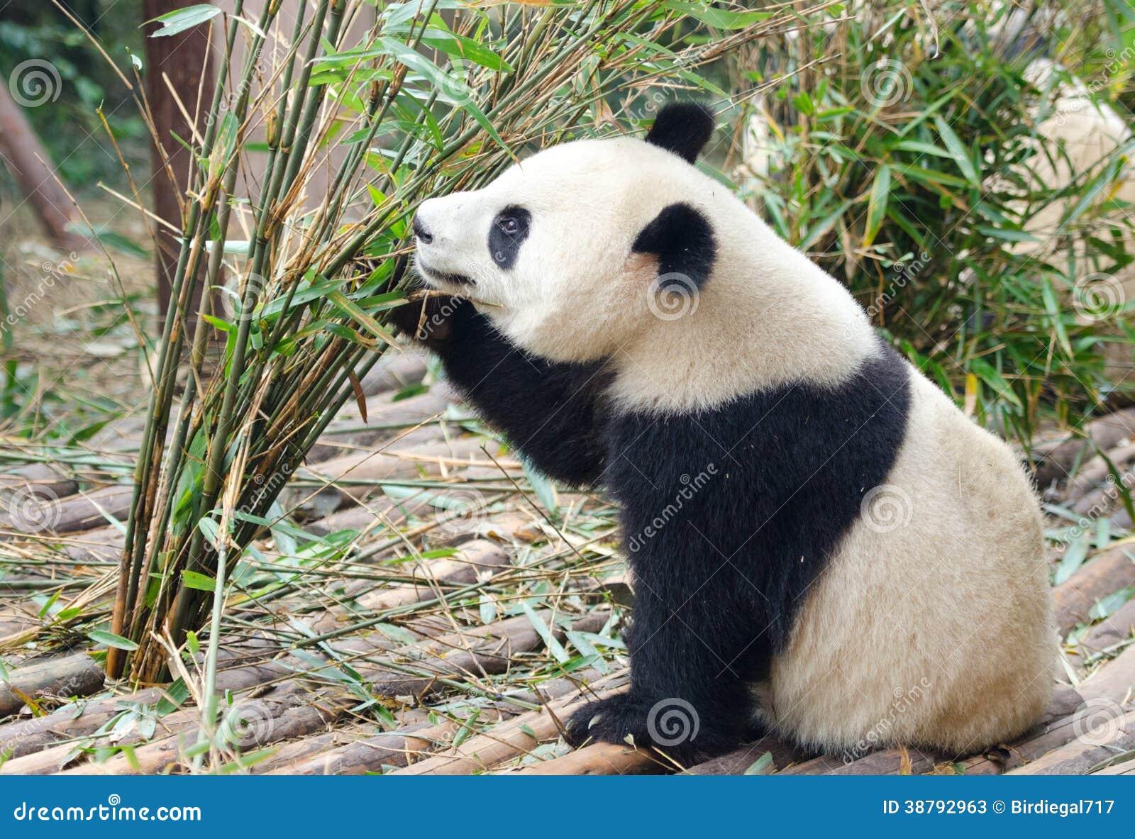 Молодая гигантская панда есть бамбук, Китай