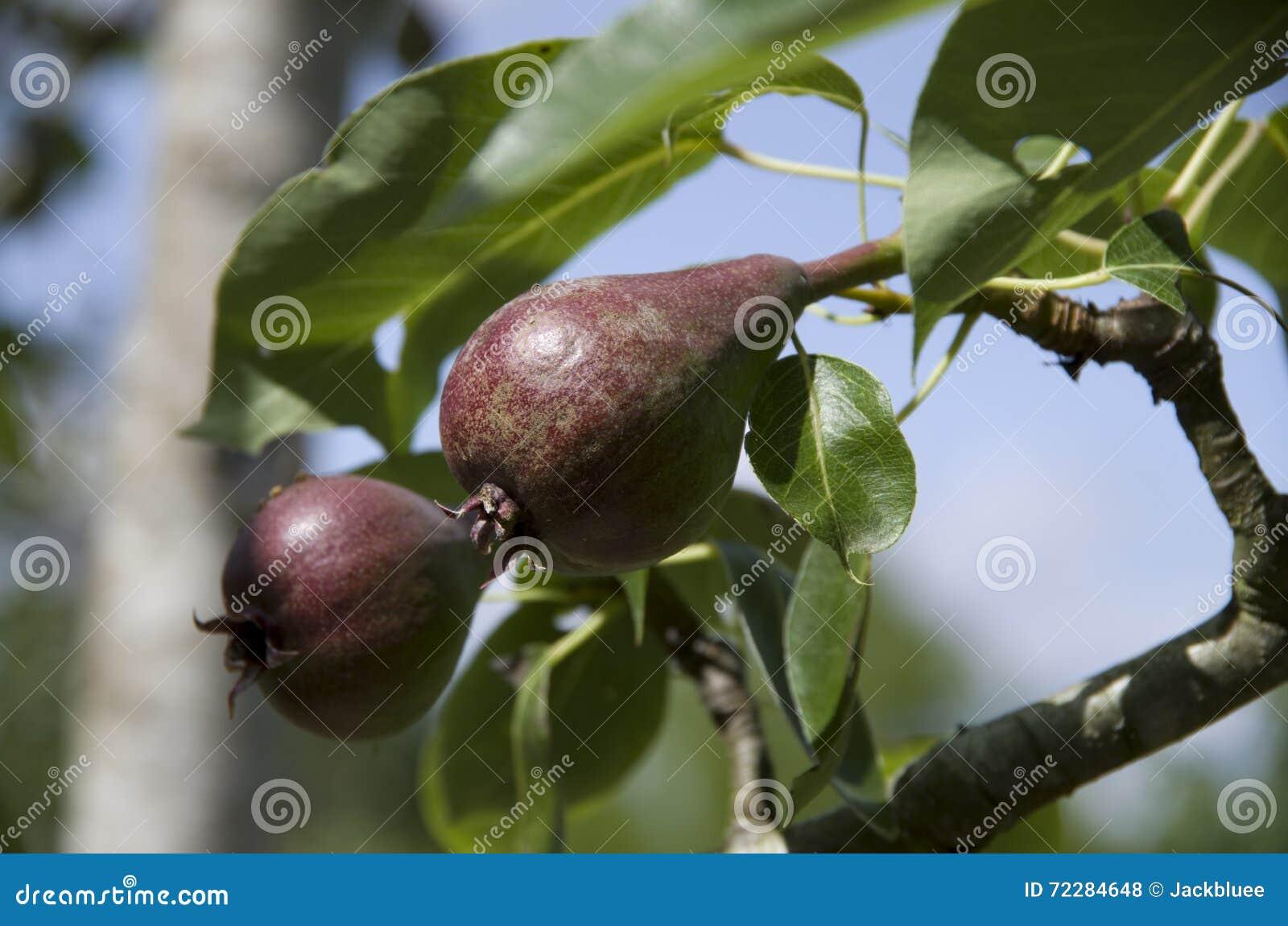 Download Молодая груша на дереве стоковое фото. изображение насчитывающей пурпурово - 72284648