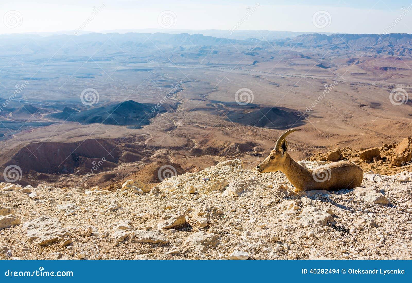 Молодая коза горы