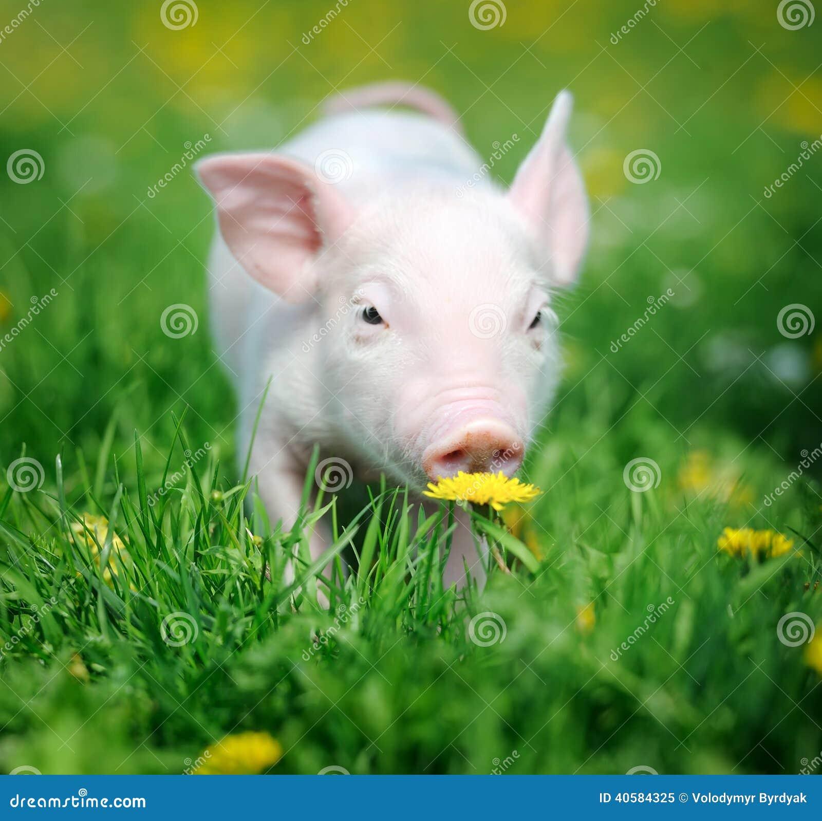 Молодая свинья на зеленой траве