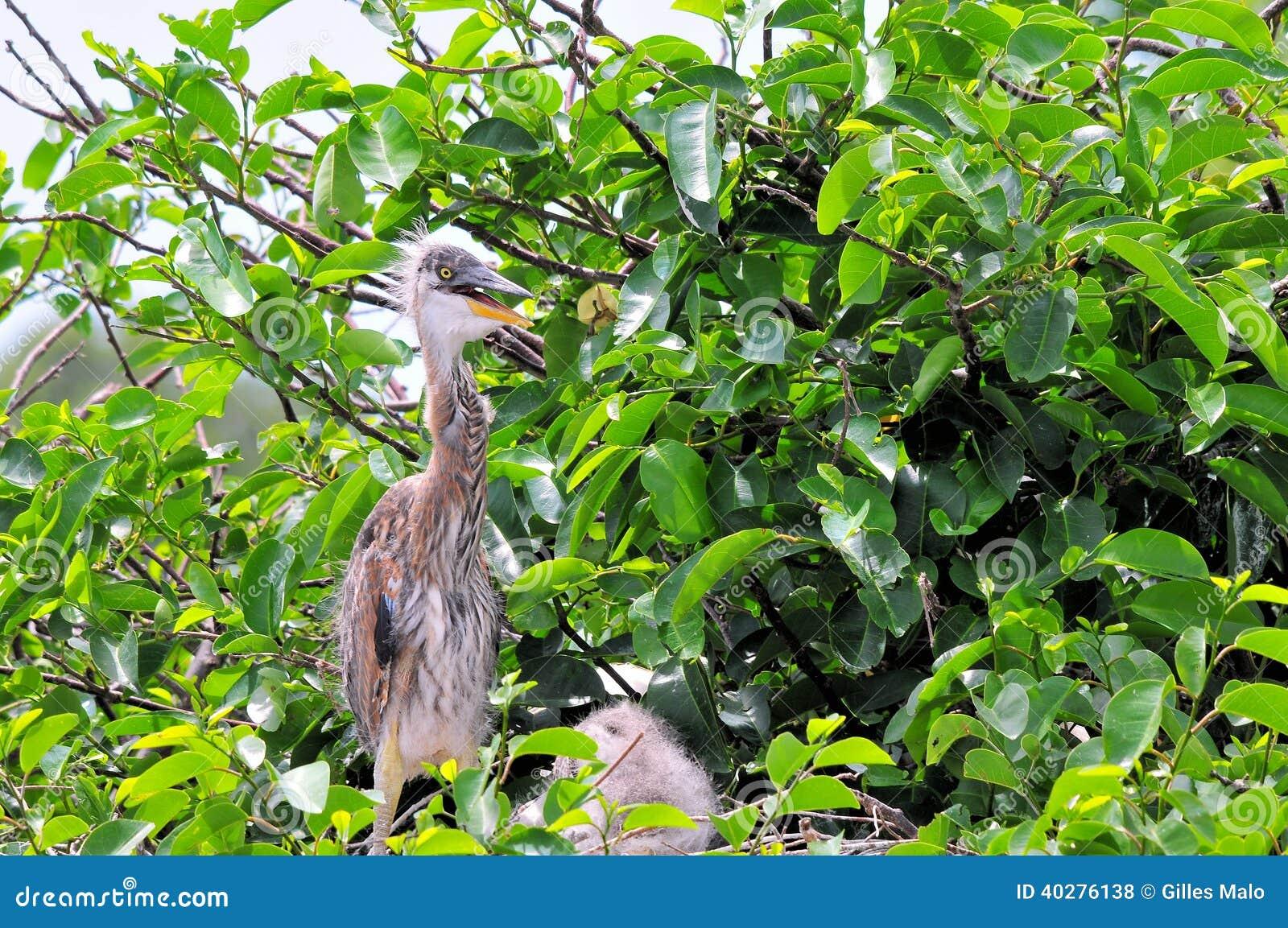 Молодая цапля большой сини стоя в гнезде в заболоченном месте