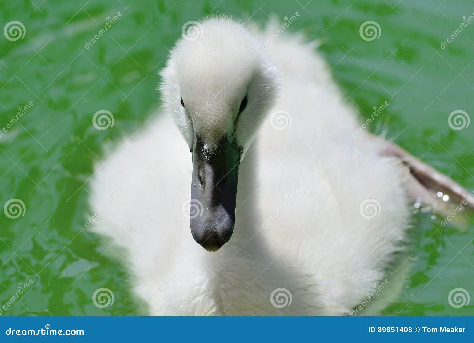 Молодой лебедь в воде