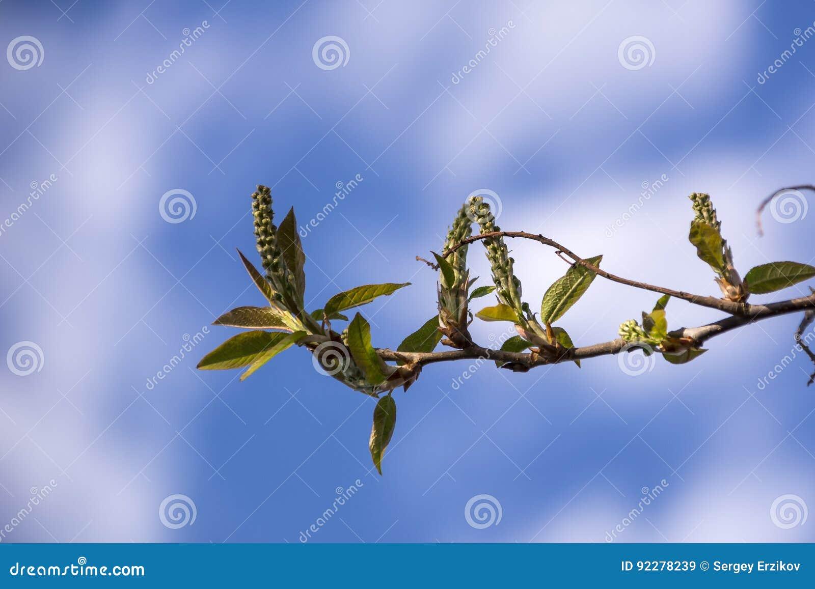 Молодой зеленый цвет весны выходит на увяданную предпосылку с космосом экземпляра Предпосылка с вишней птицы весны разветвляет и