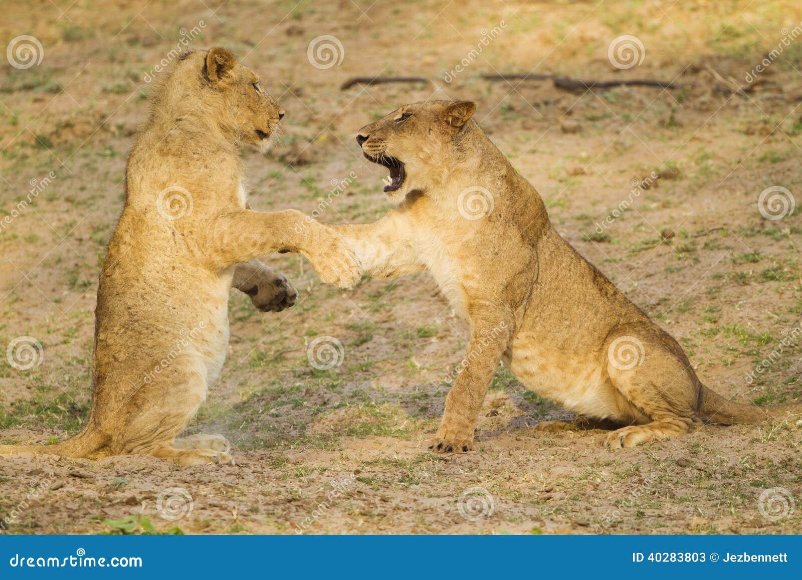 Молодой играть львов