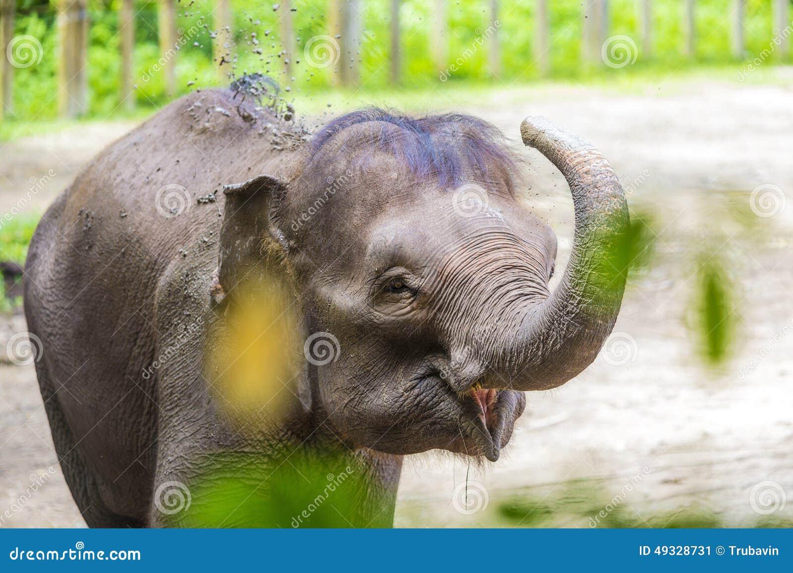 Молодой индийский слон