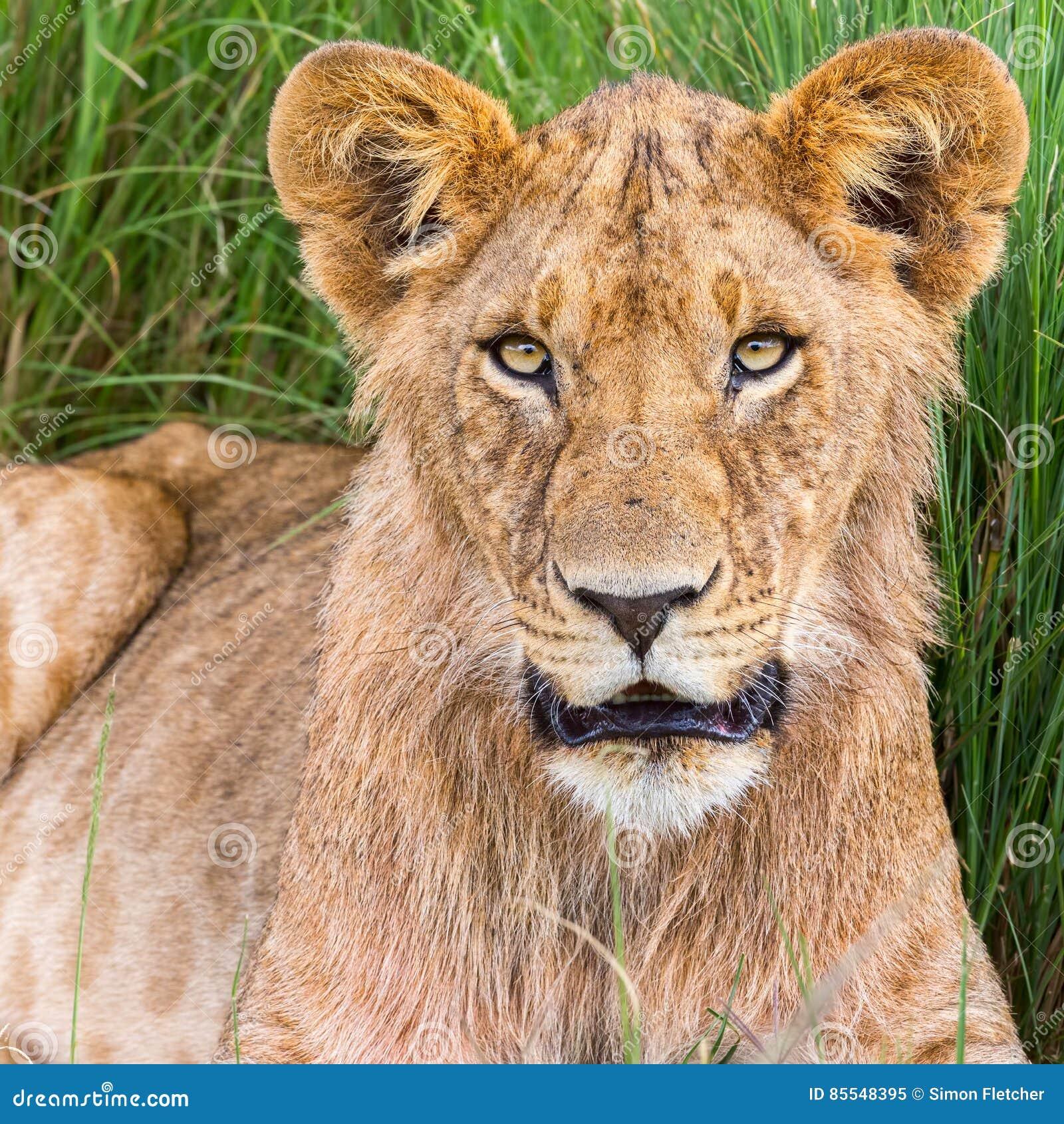 Молодой мужской портрет льва
