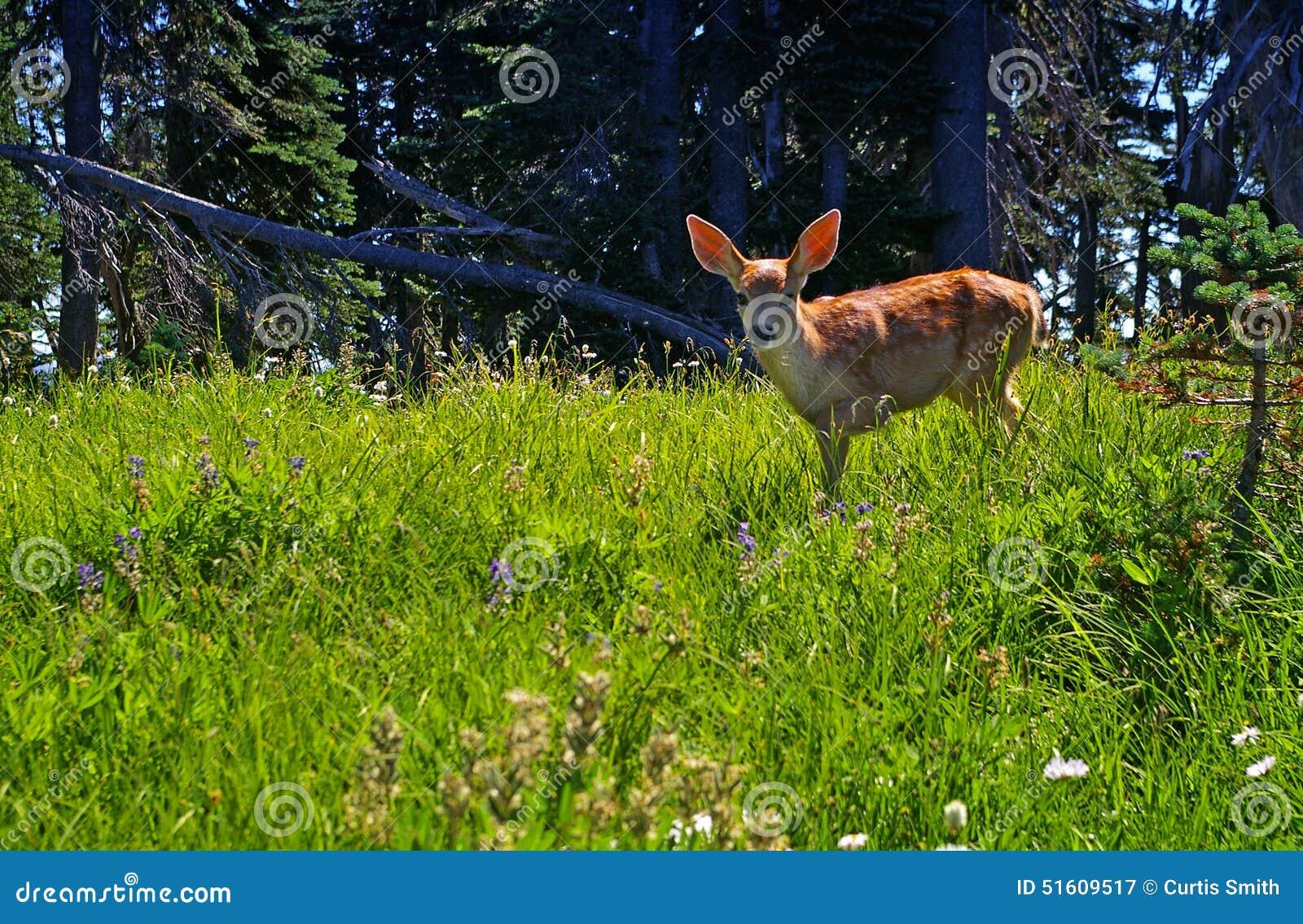 Молодой пыжик оленей в луге леса