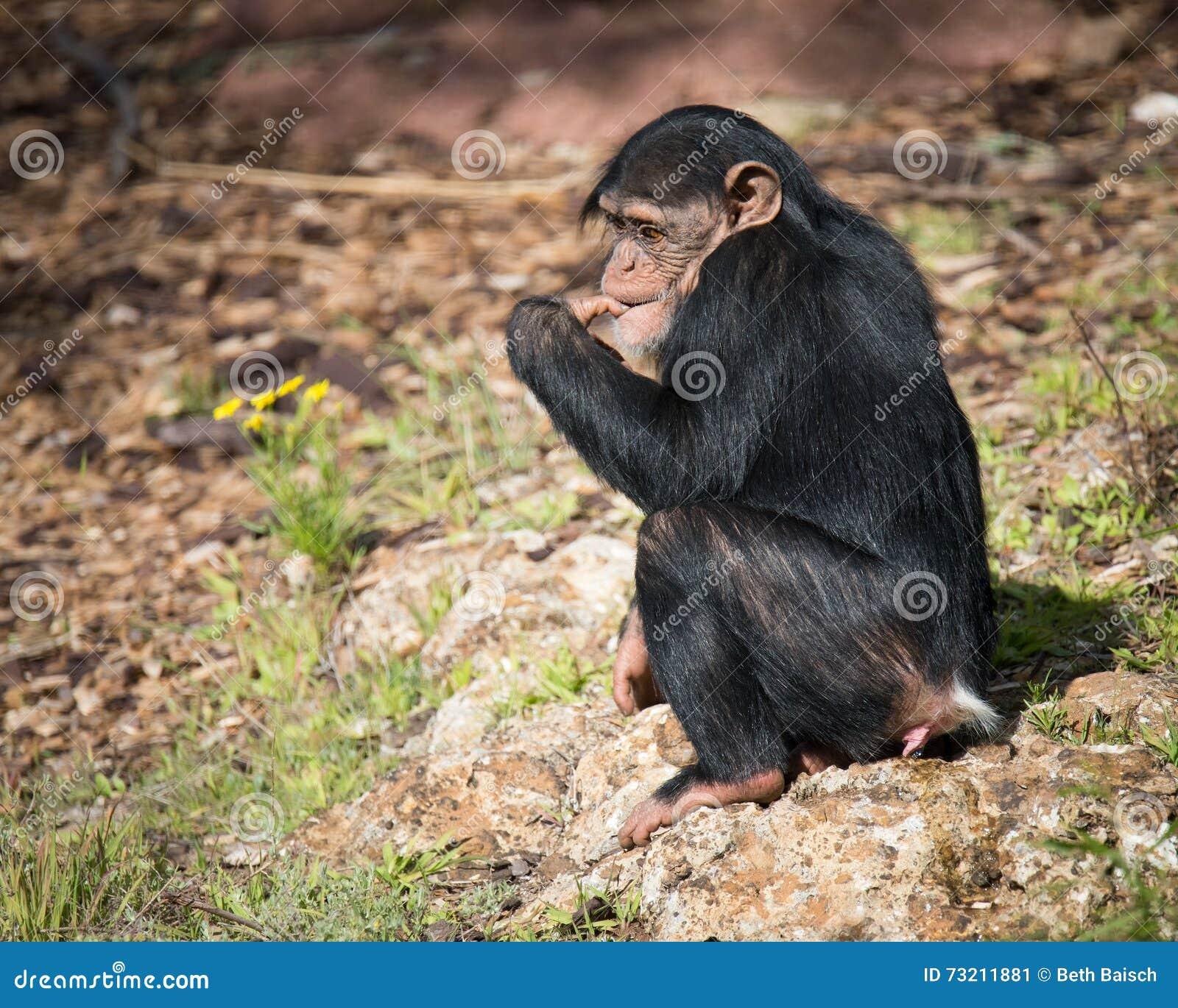Шимпанзе звук скачать