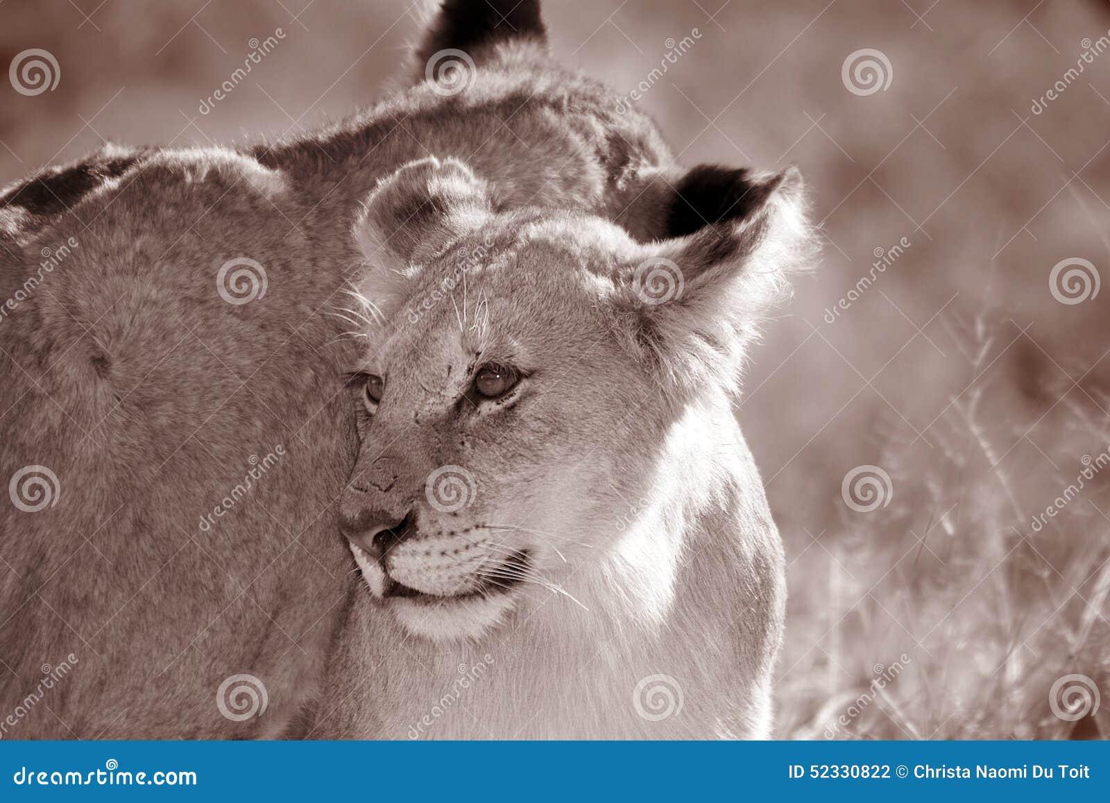 Молодой ювенильный мужской лев