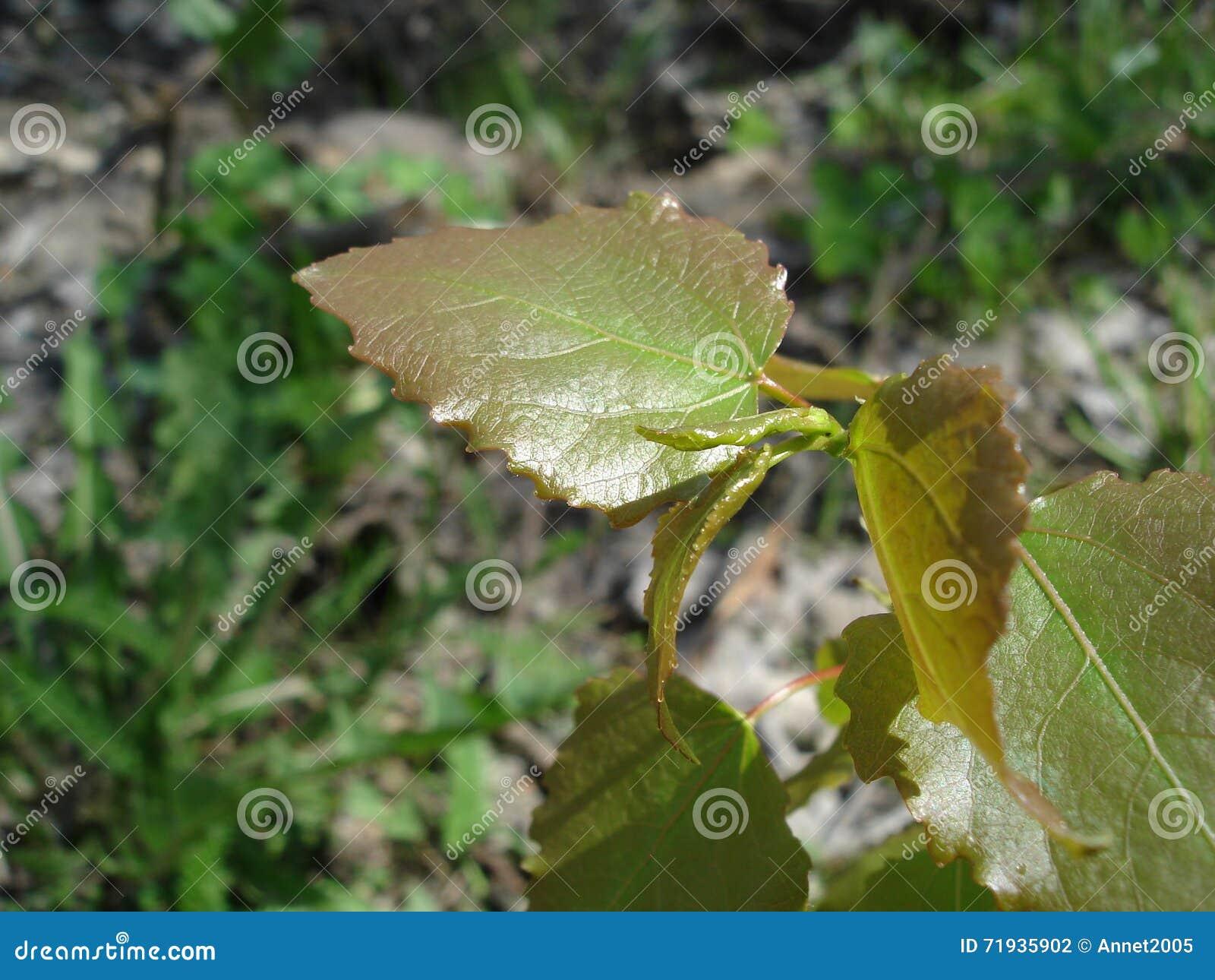 Молодые липкие листья березы