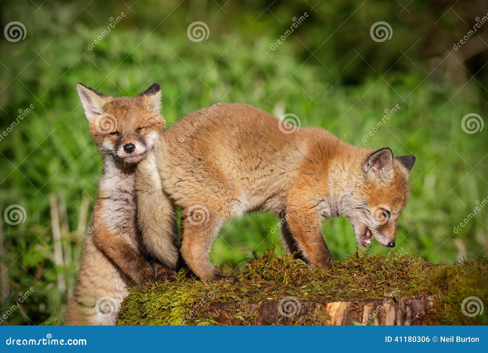 Молодые красные лисы на игре