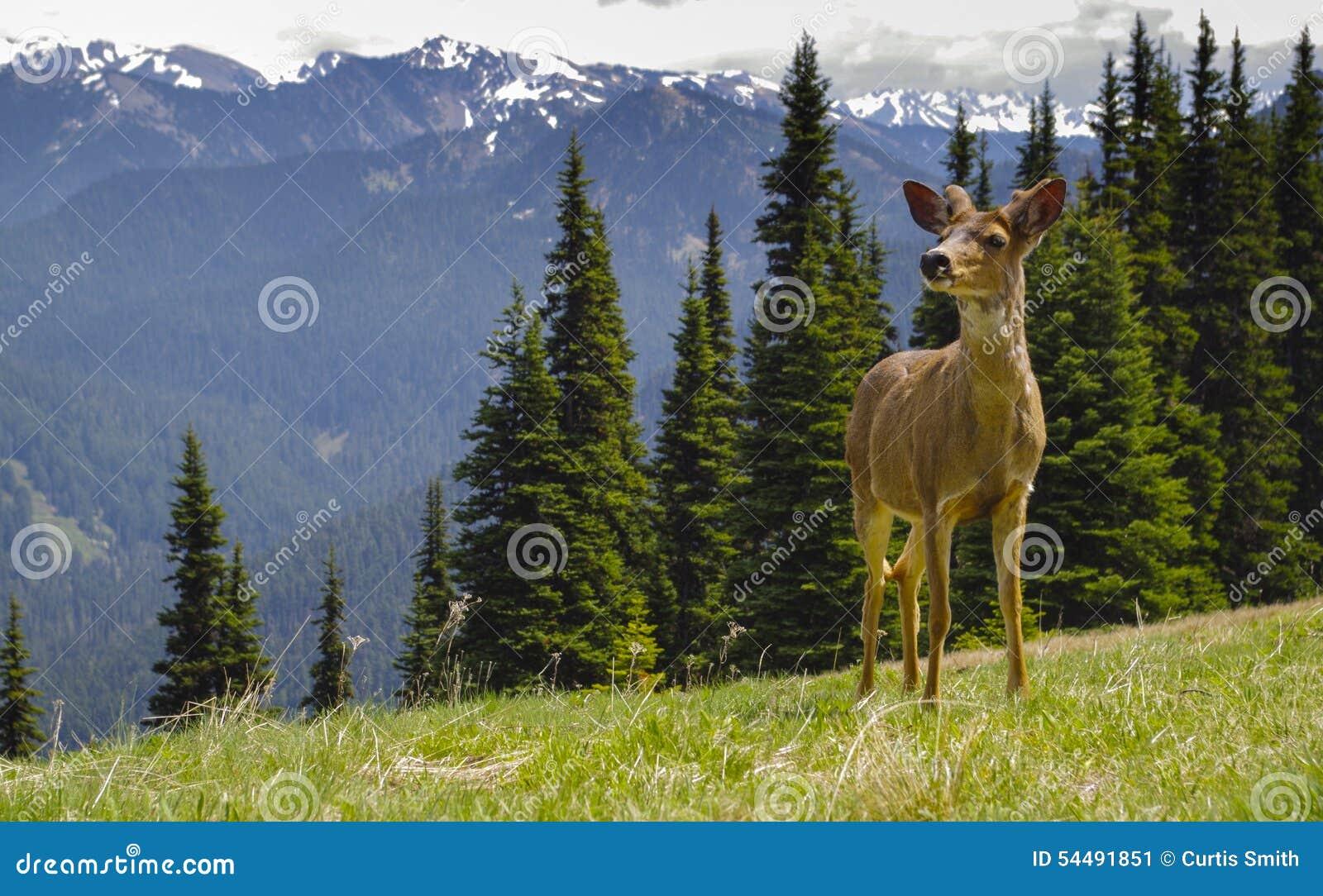 Молодые мужские олени blacktail в луге горы
