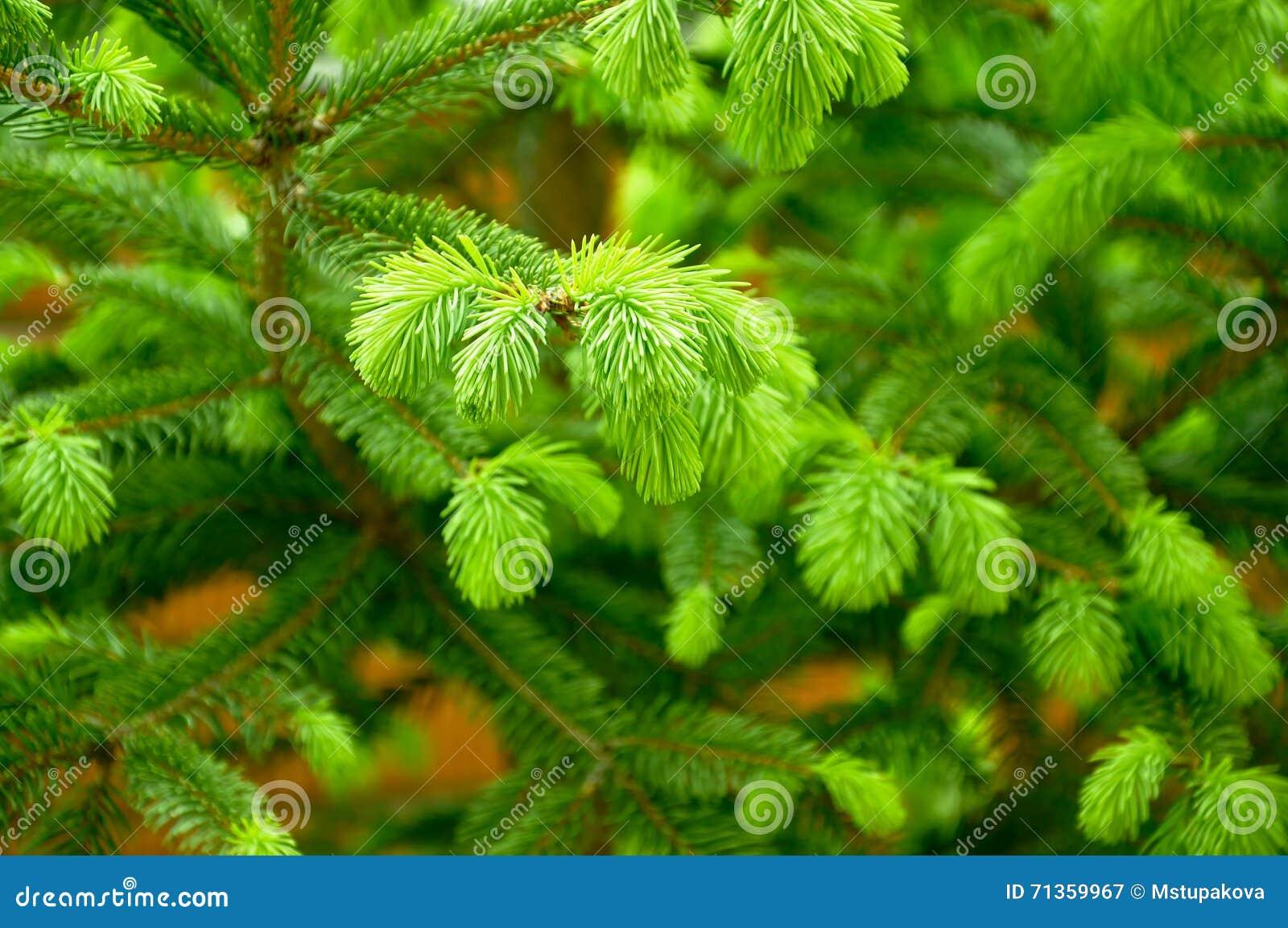 Молодые нежные зеленые всходы спруса