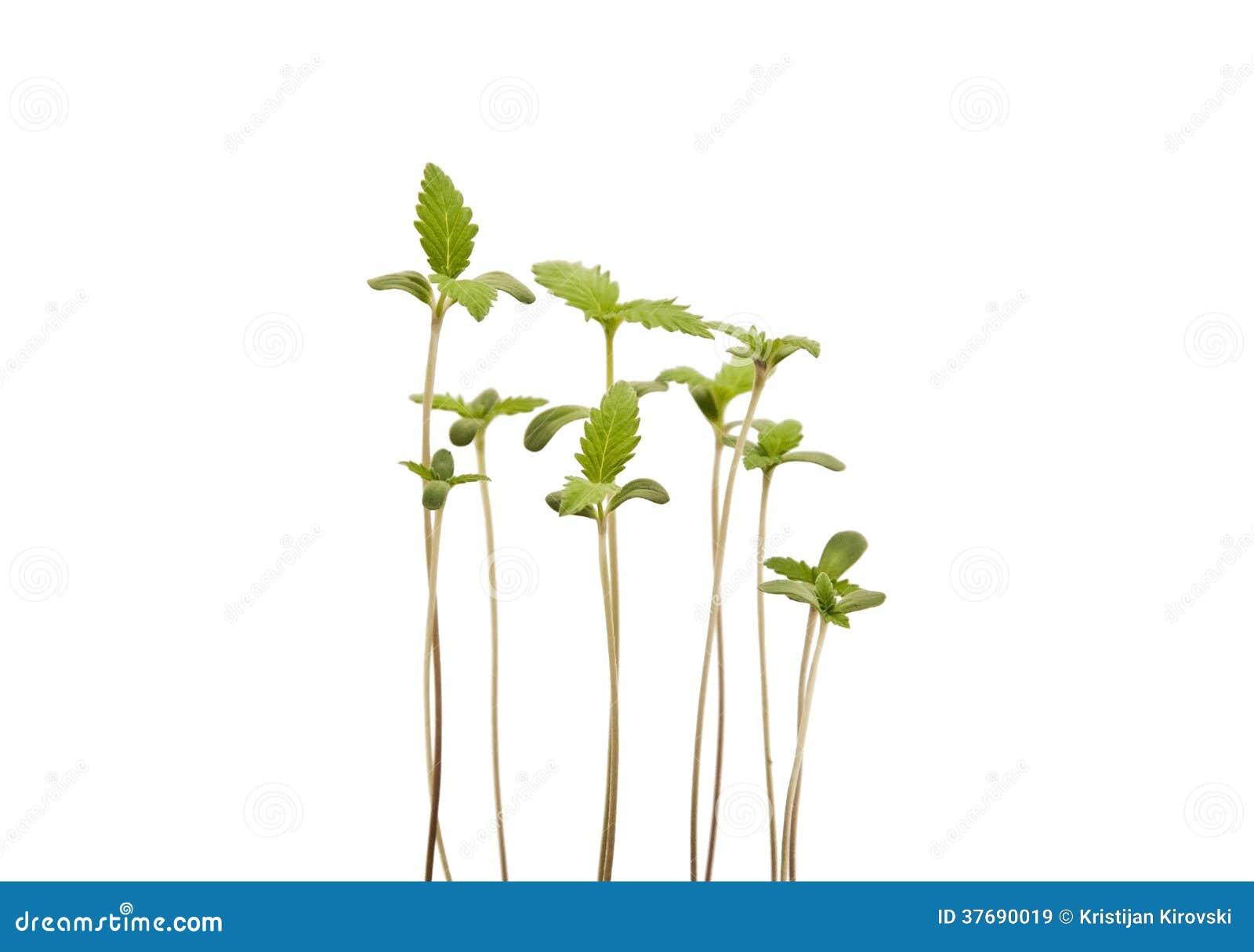 Молодые ростки конопли