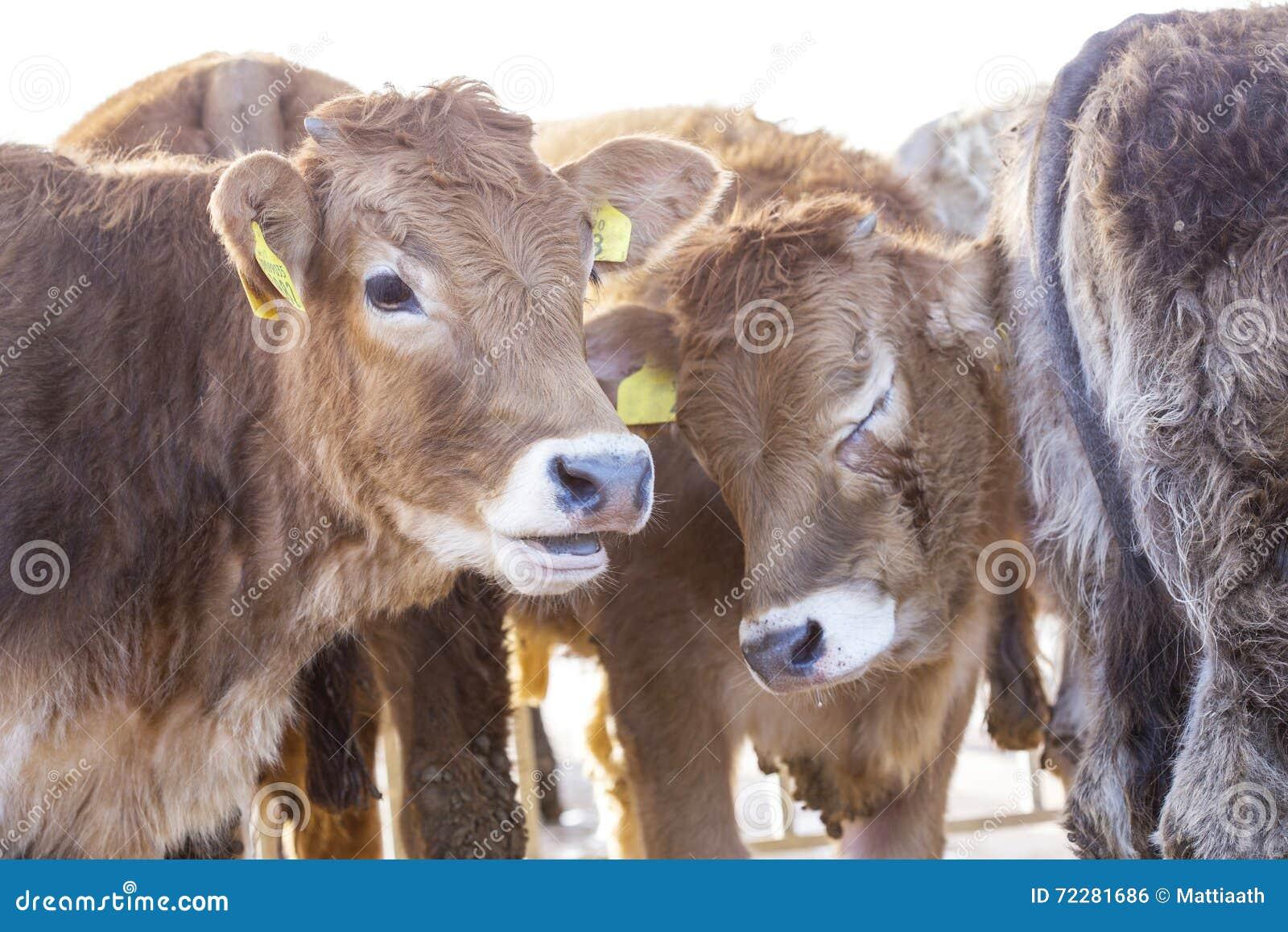 Download Молодые calfs в загородке стоковое фото. изображение насчитывающей ферма - 72281686
