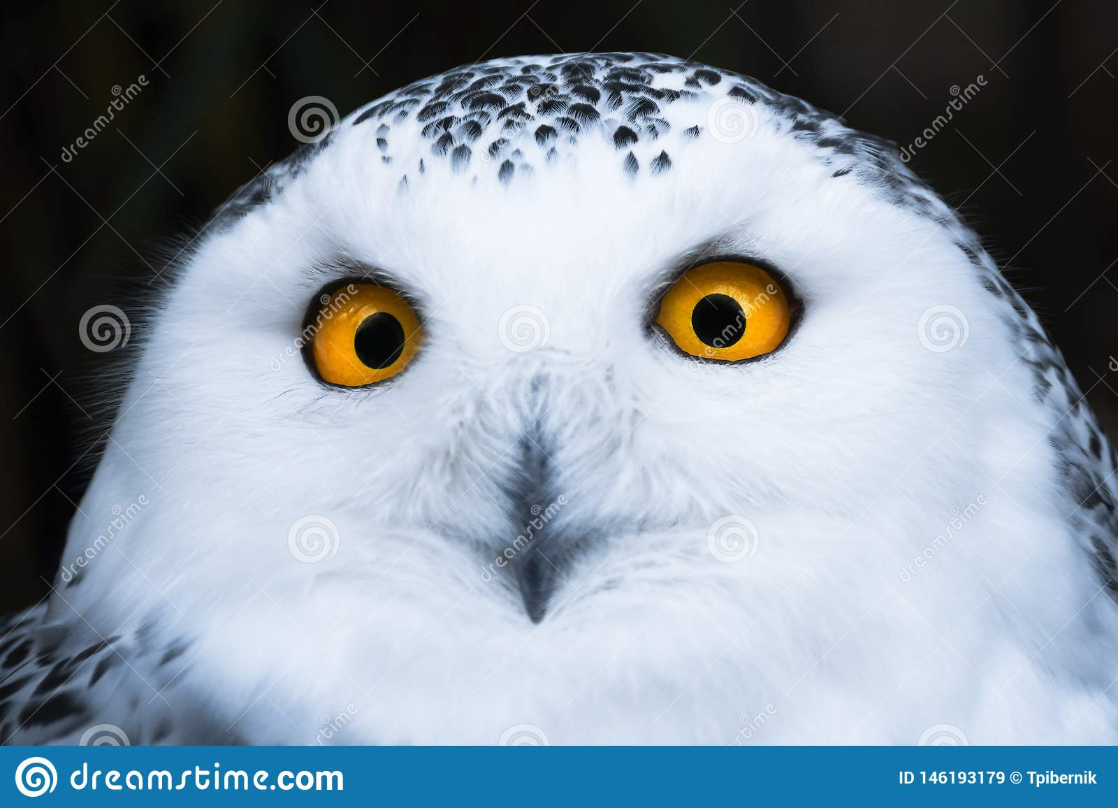 Мудрый выглядя белый снежный сыч с большим оранжевым портретом глаз