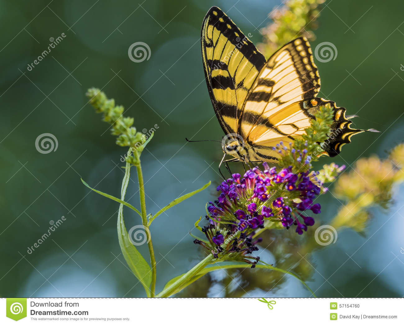 Мужская американская бабочка Swallowtail тигра