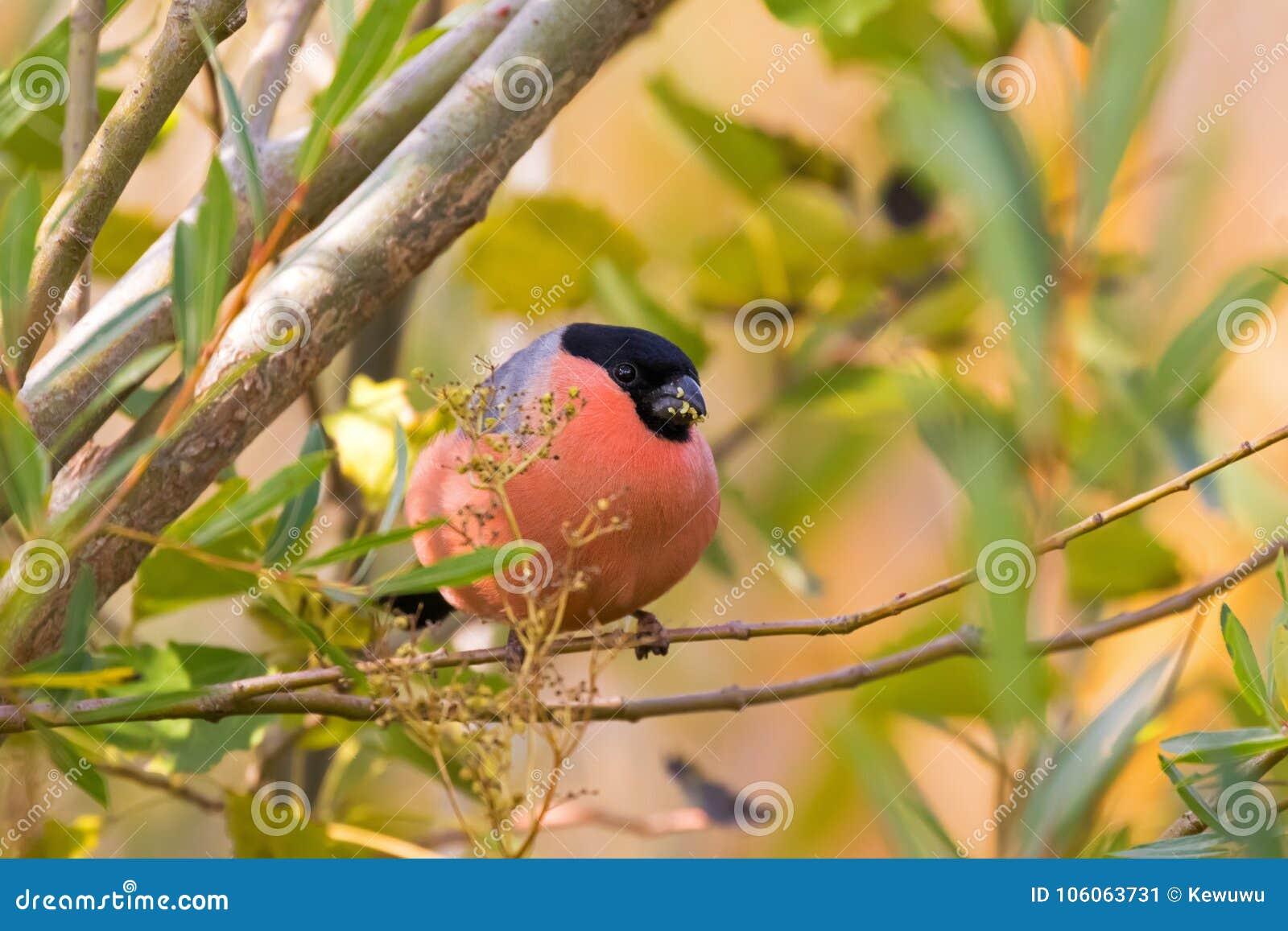 Мужская евроазиатская общая птица Bullfinch в красном апельсине садясь на насест на tr