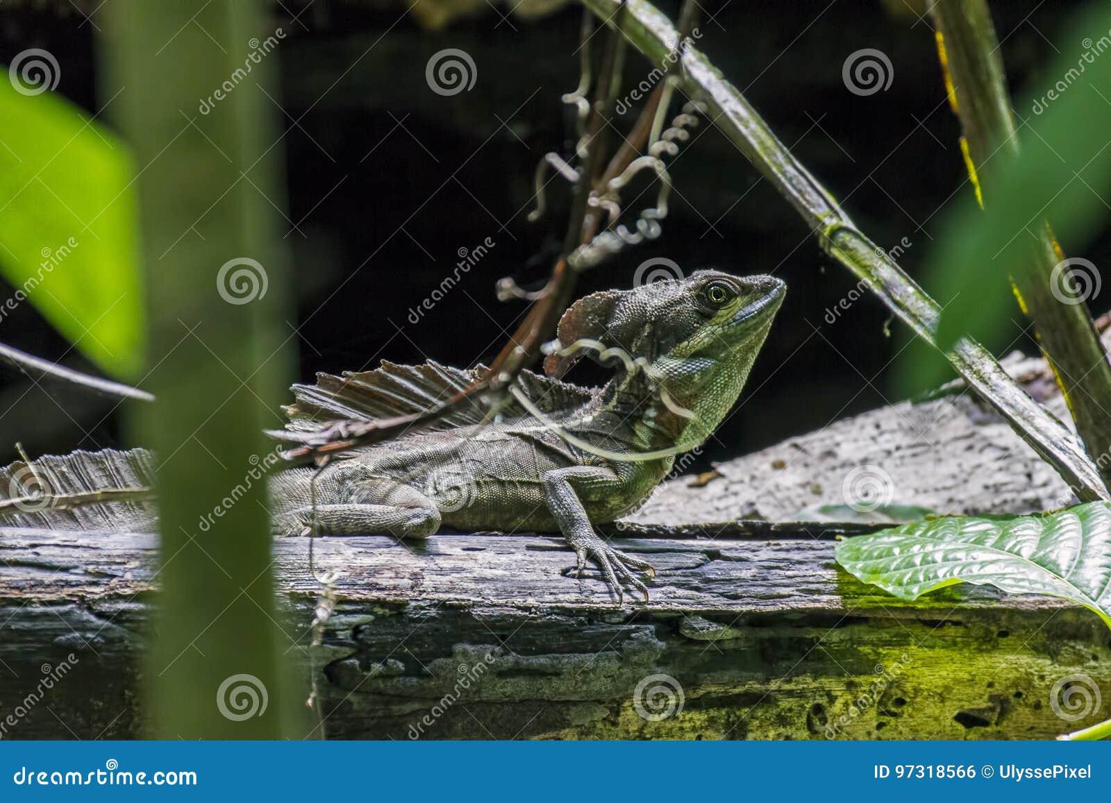 Мужская изумрудная ящерица василиска в Puntarenas - Коста-Рика